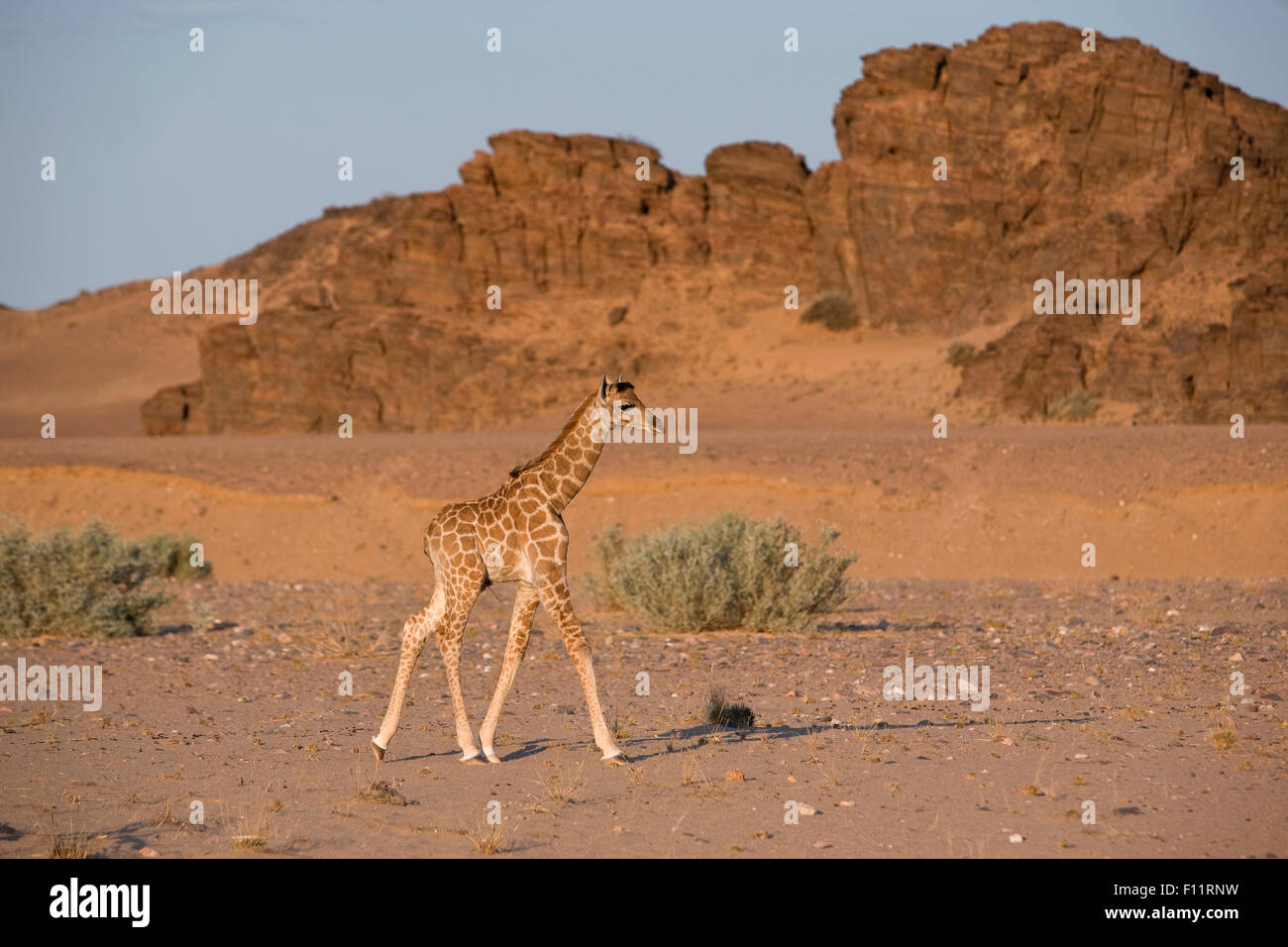 Angolan Giraffe, Namibian Giraffe (Giraffa camelopardalis angolensis) Young walking the desert Namib-Skeleton Coast - Stock Image