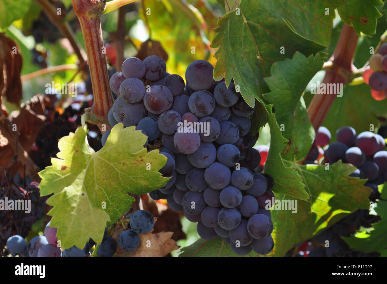 Bunch of grapes, in a vineyard in the Jalon Valley, Alicante Province, Spain - Stock Image