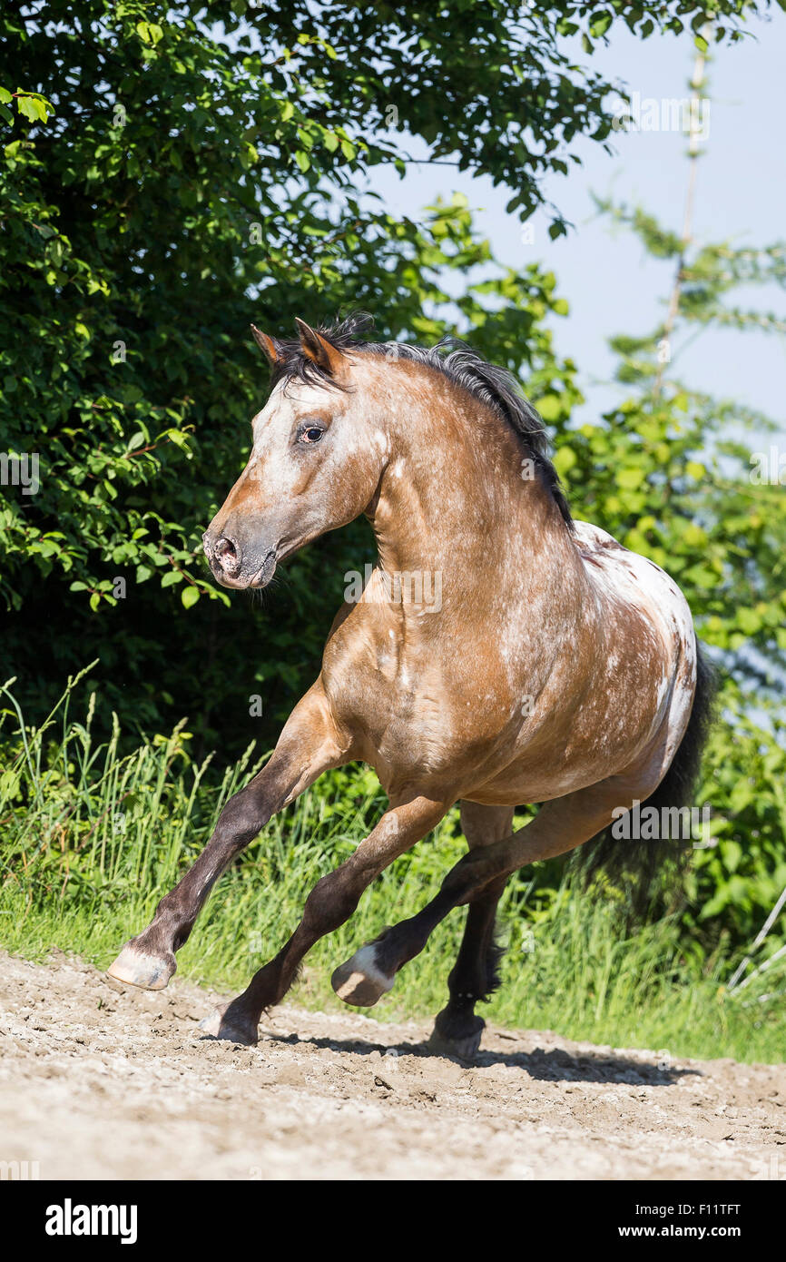 Appaloosa Leopard-spotted dun gelding galloping paddock Switzerland - Stock Image