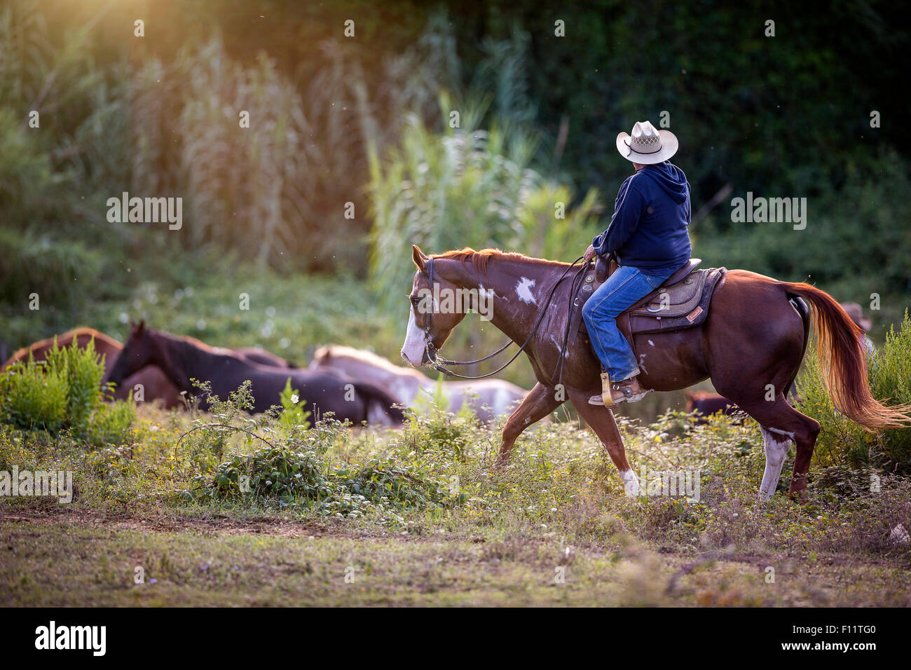 American Paint Horse Cowboy driving horses Italy - Stock Image