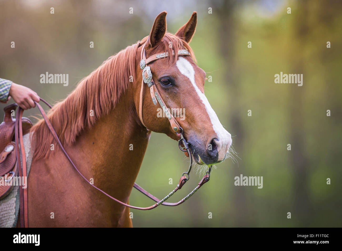 American Quarter Horse Portrait sorrel gelding tack - Stock Image