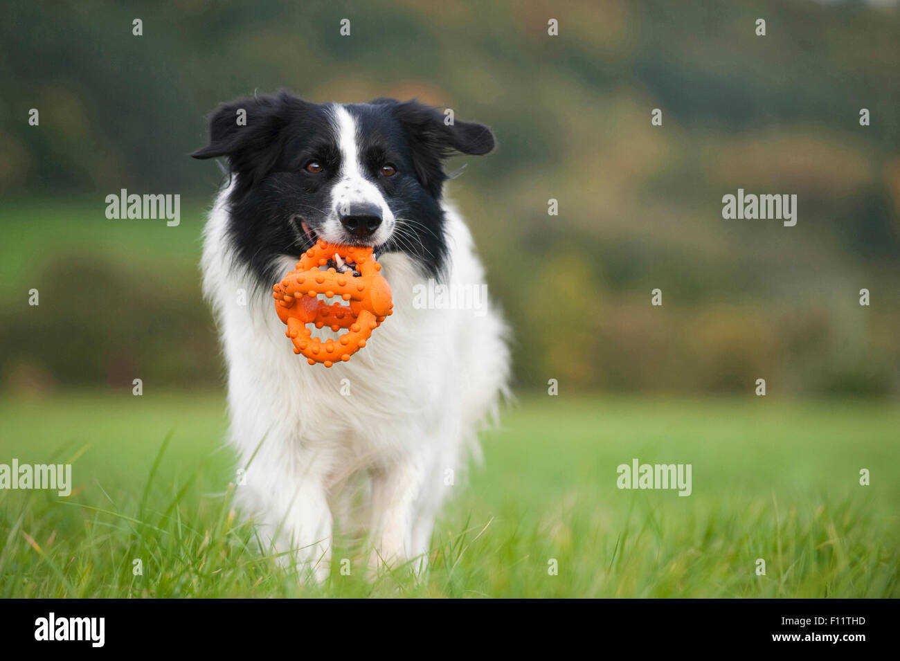 Border Collie Adult fetching toy - Stock Image