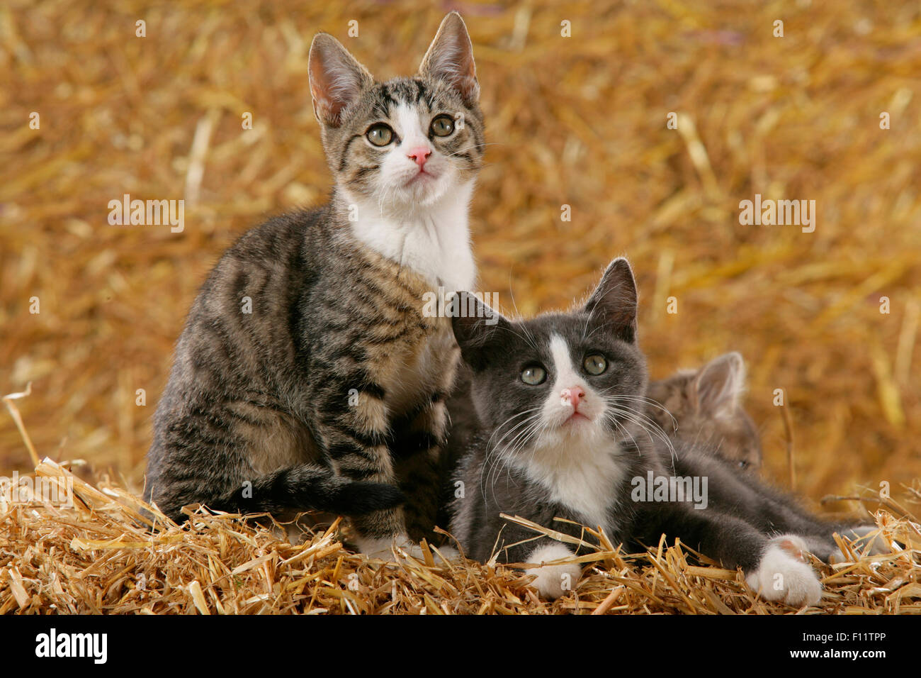 Domestic cat Three juveniles straw - Stock Image