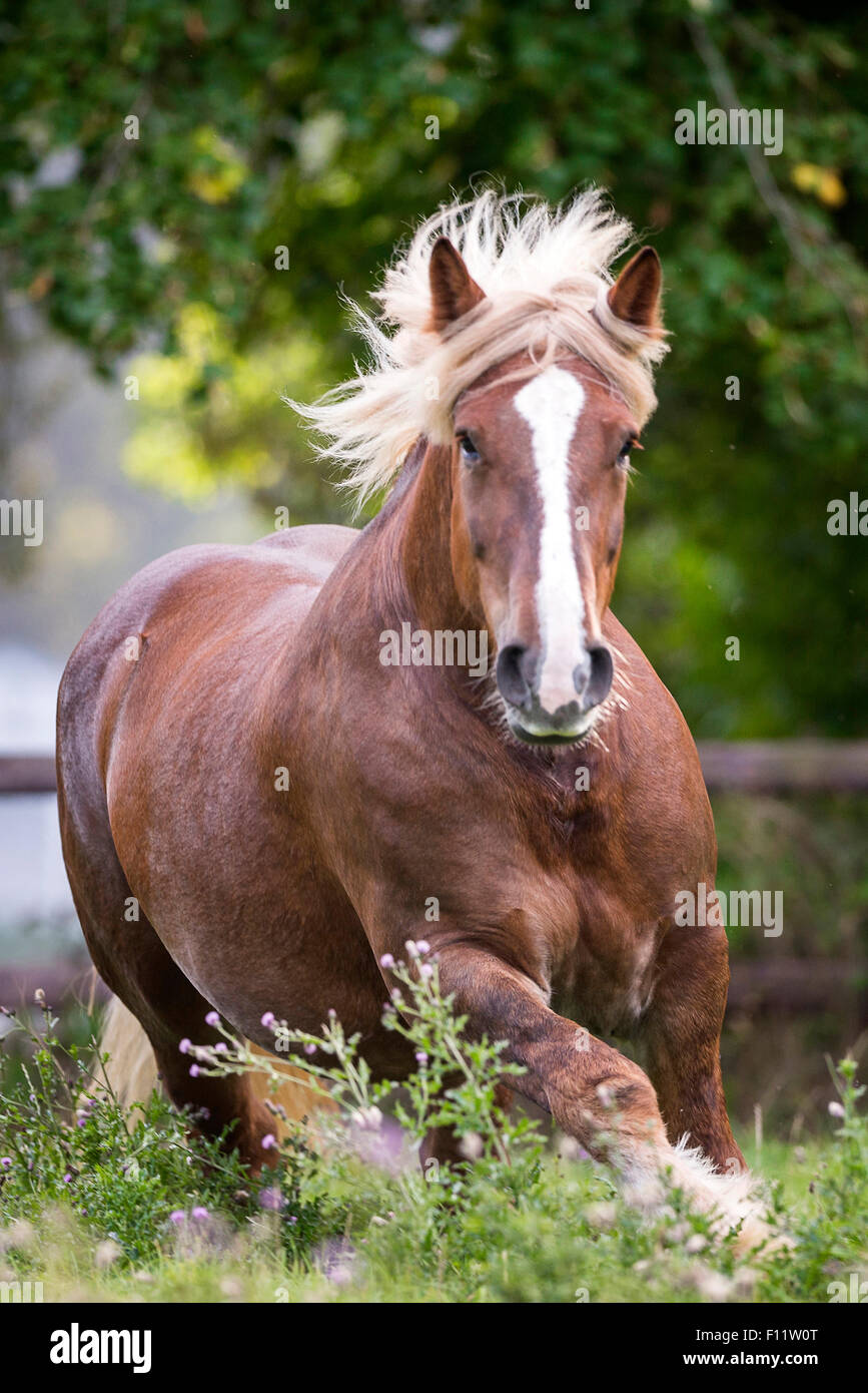 Schleswig Coldblood Mare galloping pasture - Stock Image
