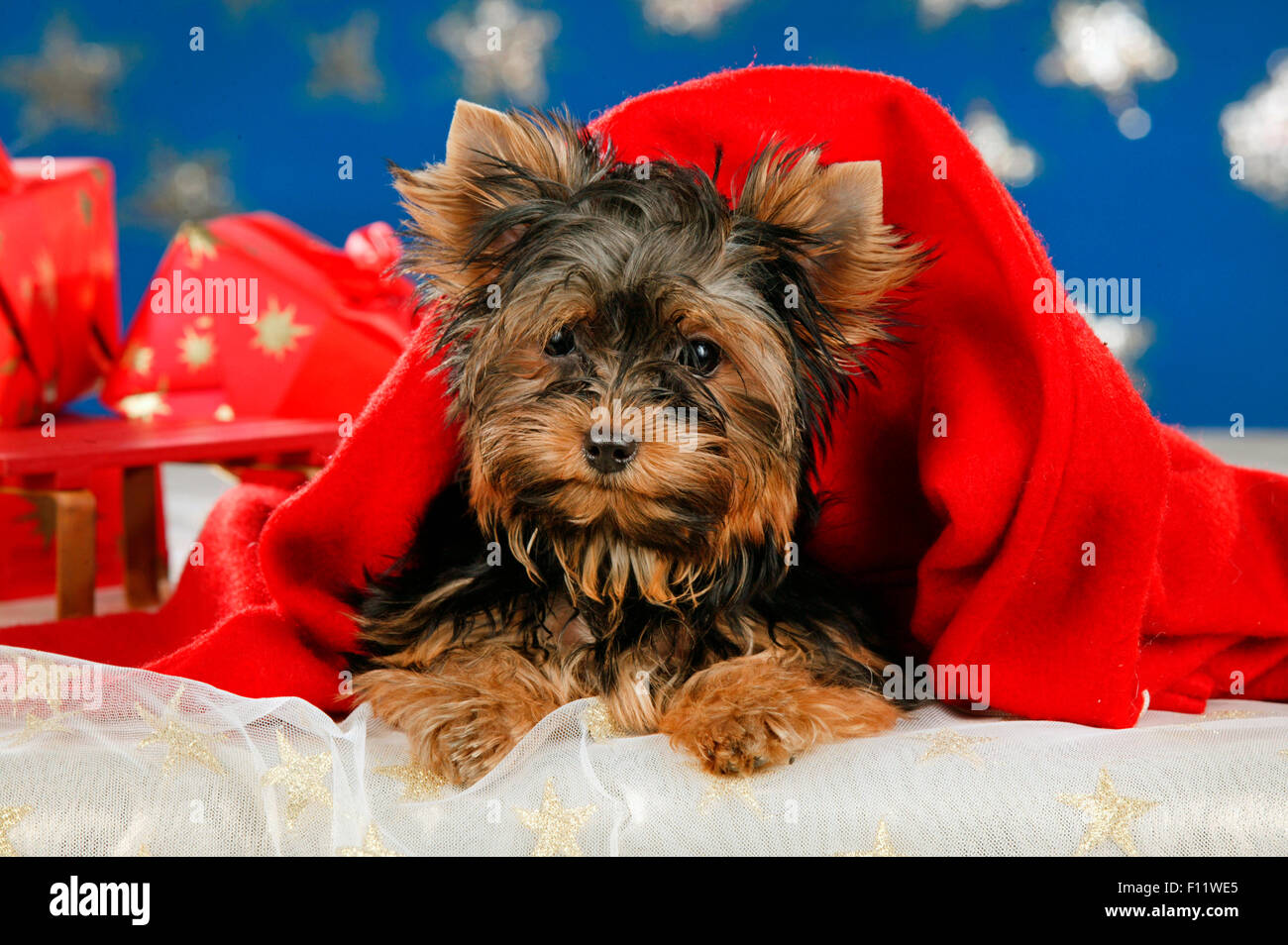 Yorkshire Terrier Christmas Decoration Stock Photo 86708445 Alamy