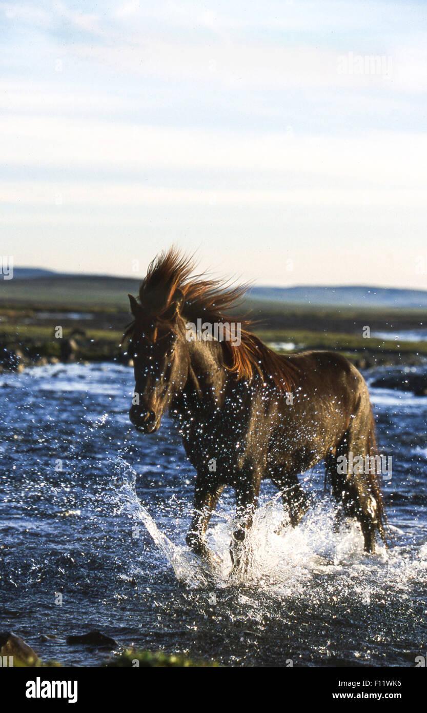 Icelandic Horse Single horse crossing stream Iceland - Stock Image