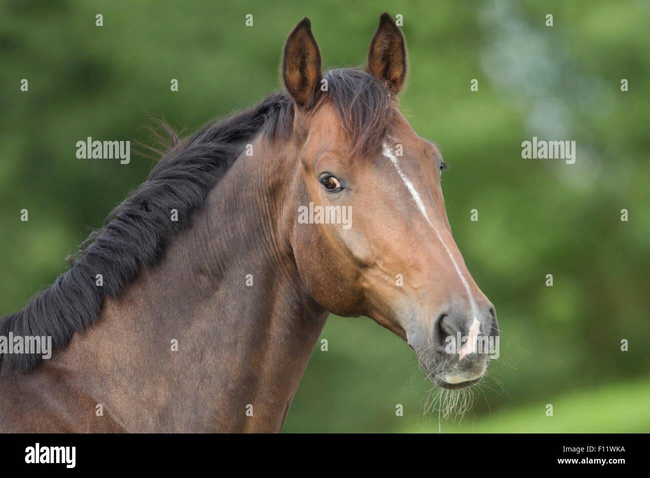Warmblood Portrait bay horse white stripe - Stock Image