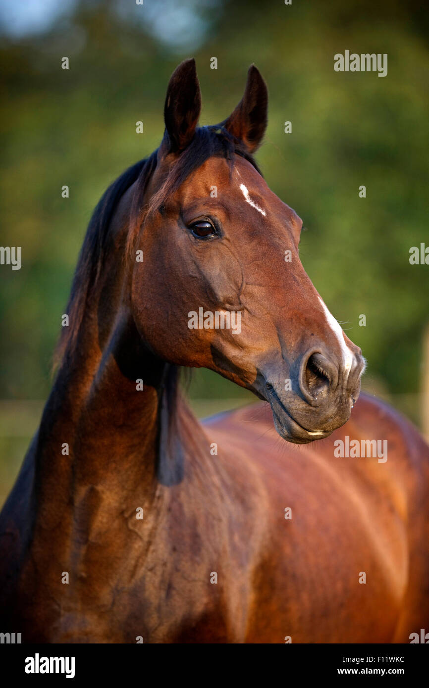 Warmblood Portrait chestnut mare star and snip - Stock Image