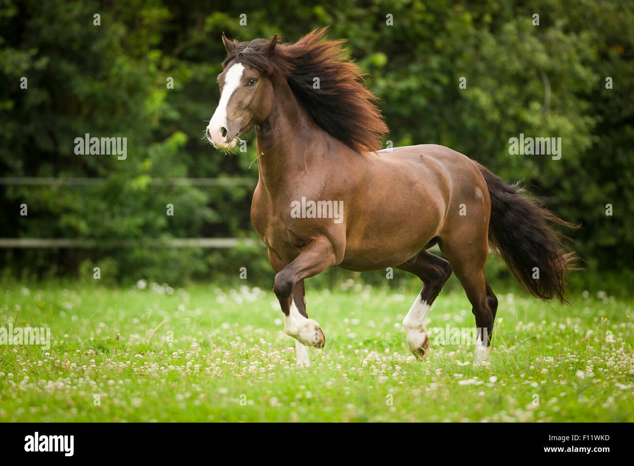 Welsh Pony, Section D Chestnut gelding galloping pasture - Stock Image