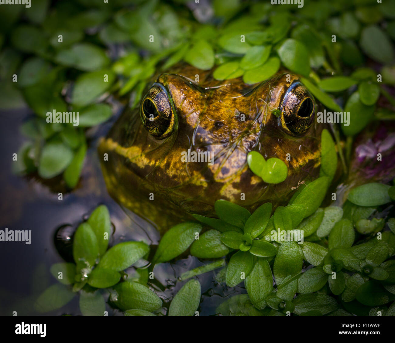 Common Frog (Rana temporaria) with heart shaped leaf on its nose, clearly awaiting a kiss. - Stock Image