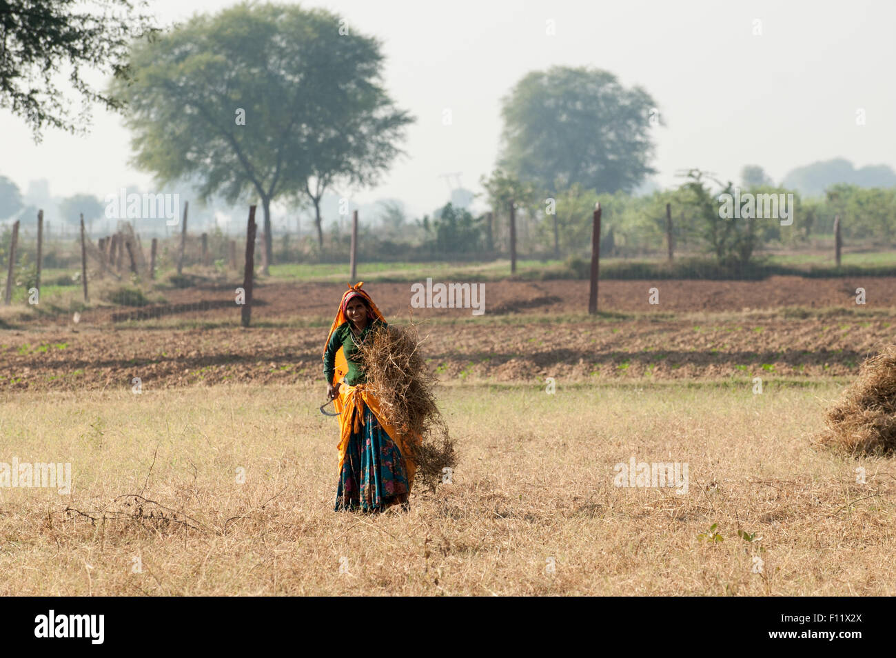 Sawai Madhopur, Rajasthan, India.  Smiling young woman in colourful clothes harvesting crops with a sickle. - Stock Image