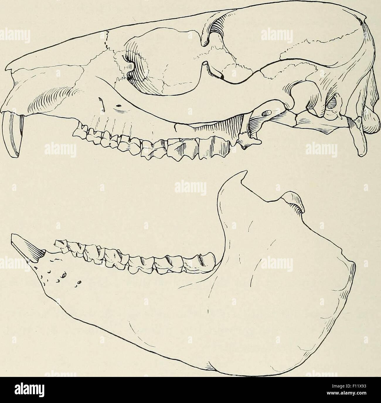 Mammal skull - Stock Image
