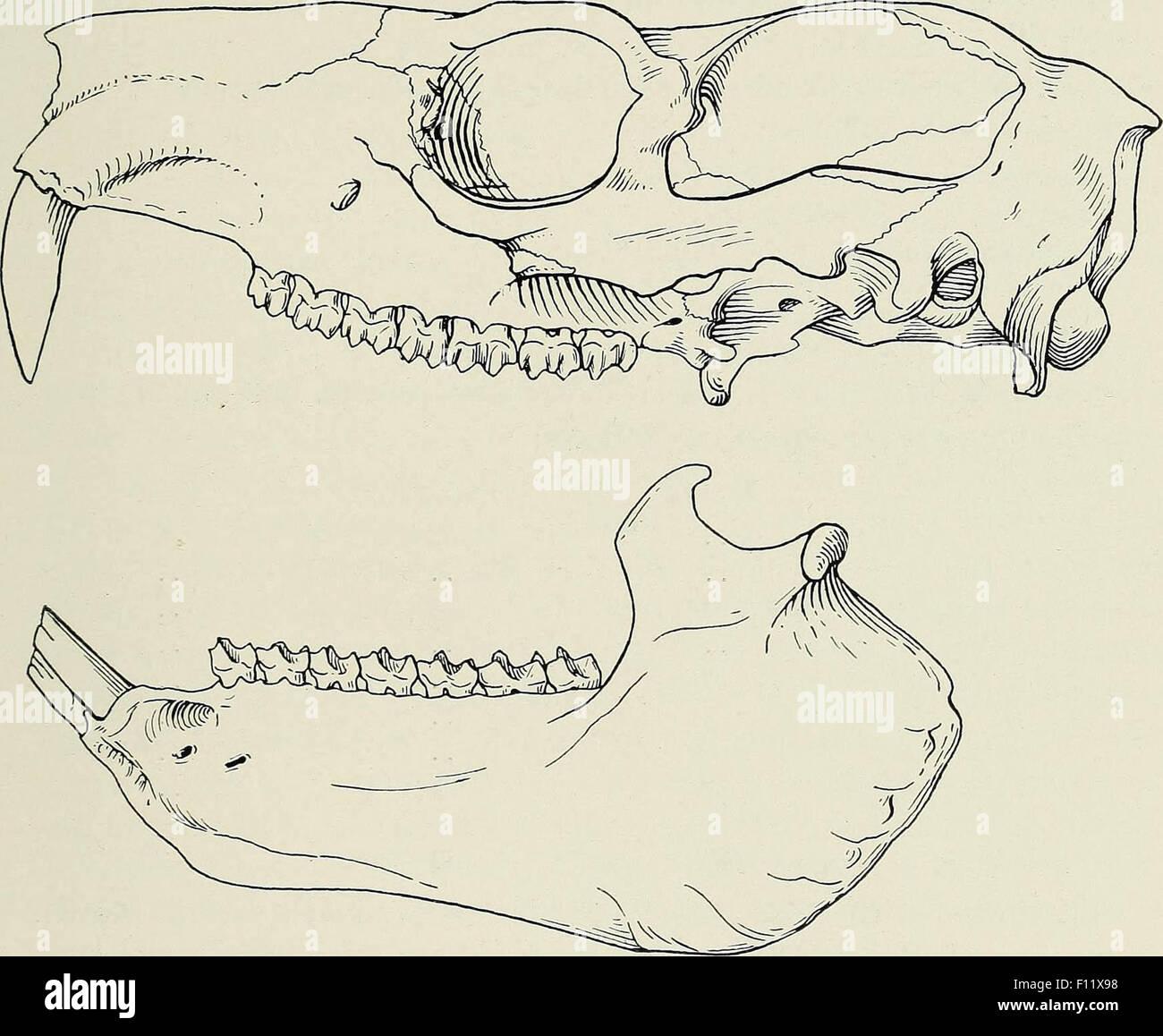 illustration of mammals skull - Stock Image