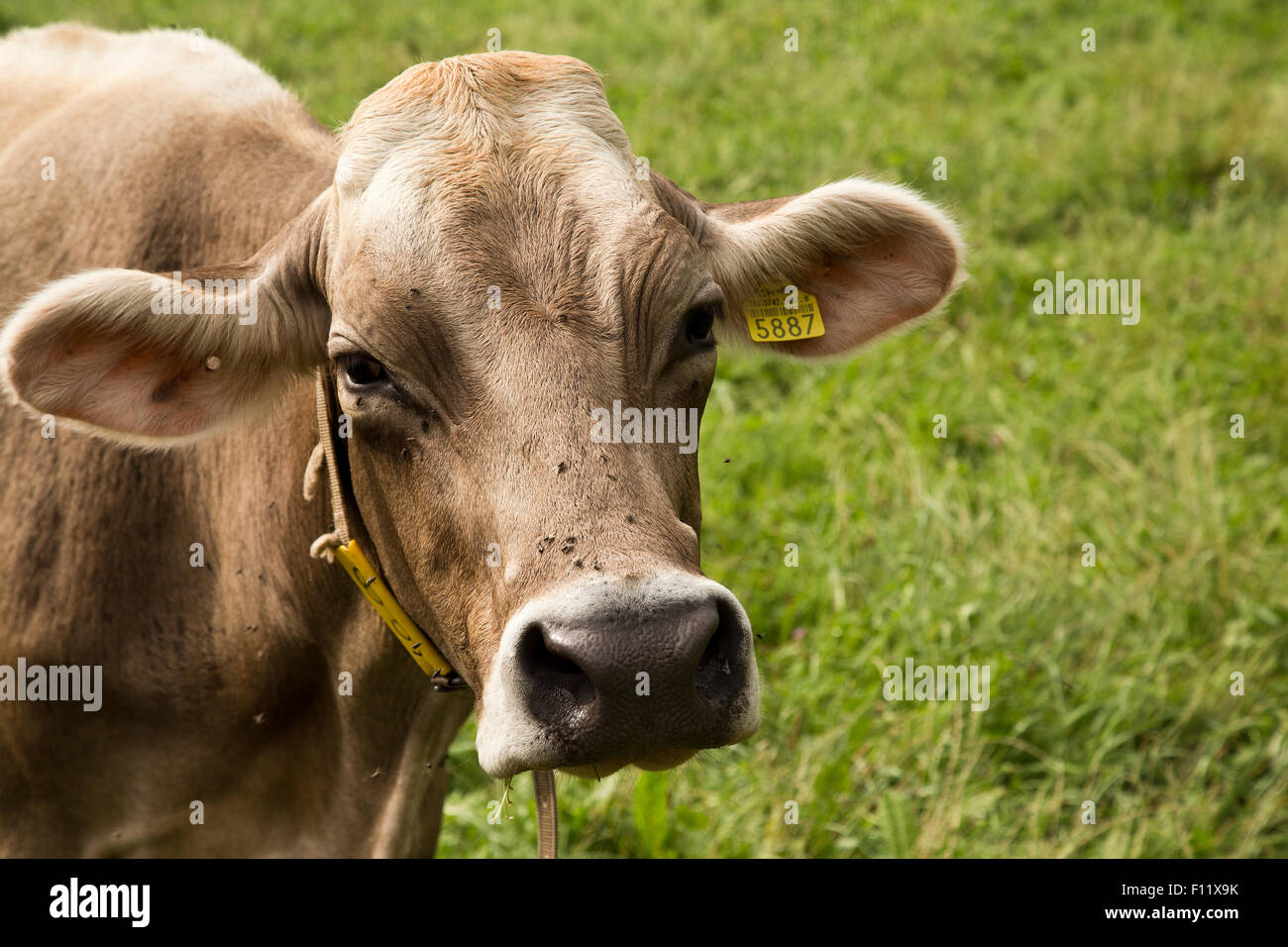 Cow in Vaduz Liechtenstein - Stock Image
