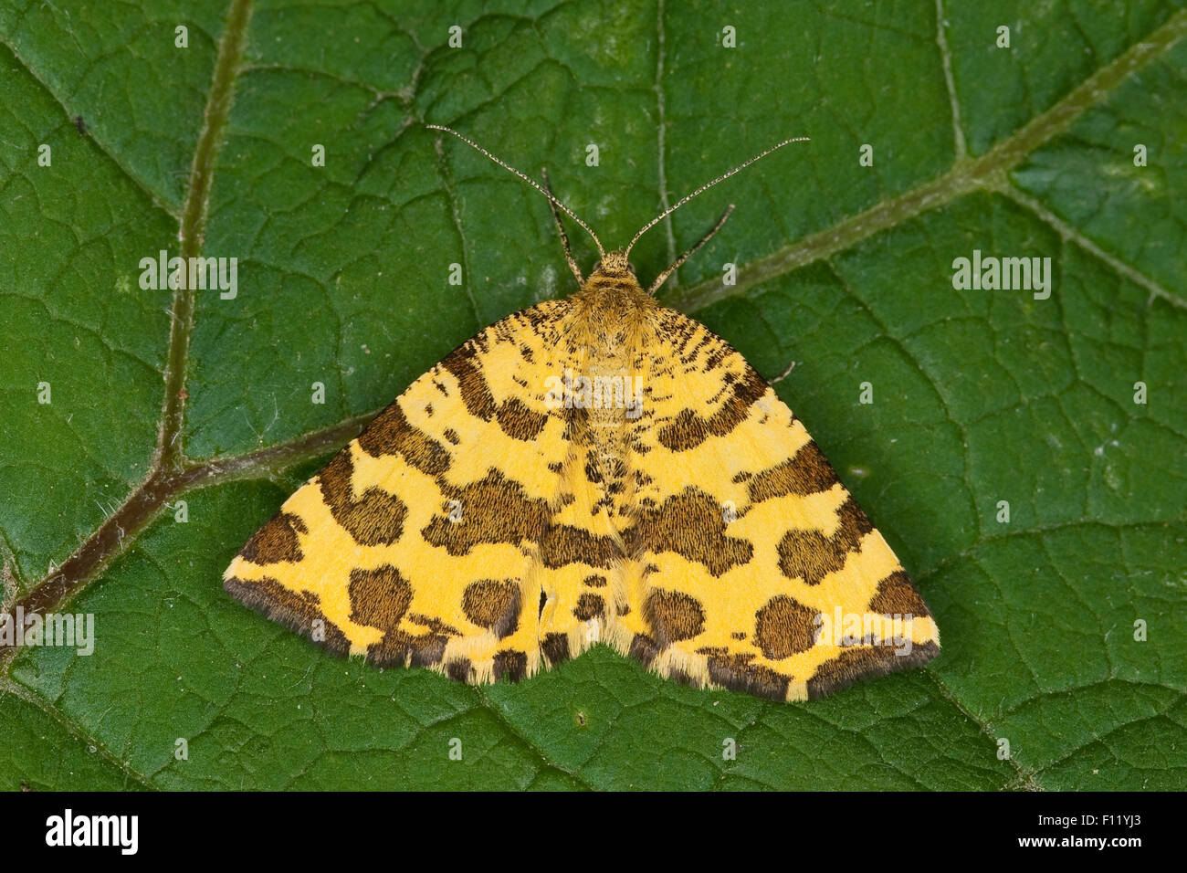 Speckled Yellow, Fleckenspanner, Flecken-Spanner, Panther-Spanner, Pantherspanner, Pseudopanthera macularia, Panterspanner - Stock Image