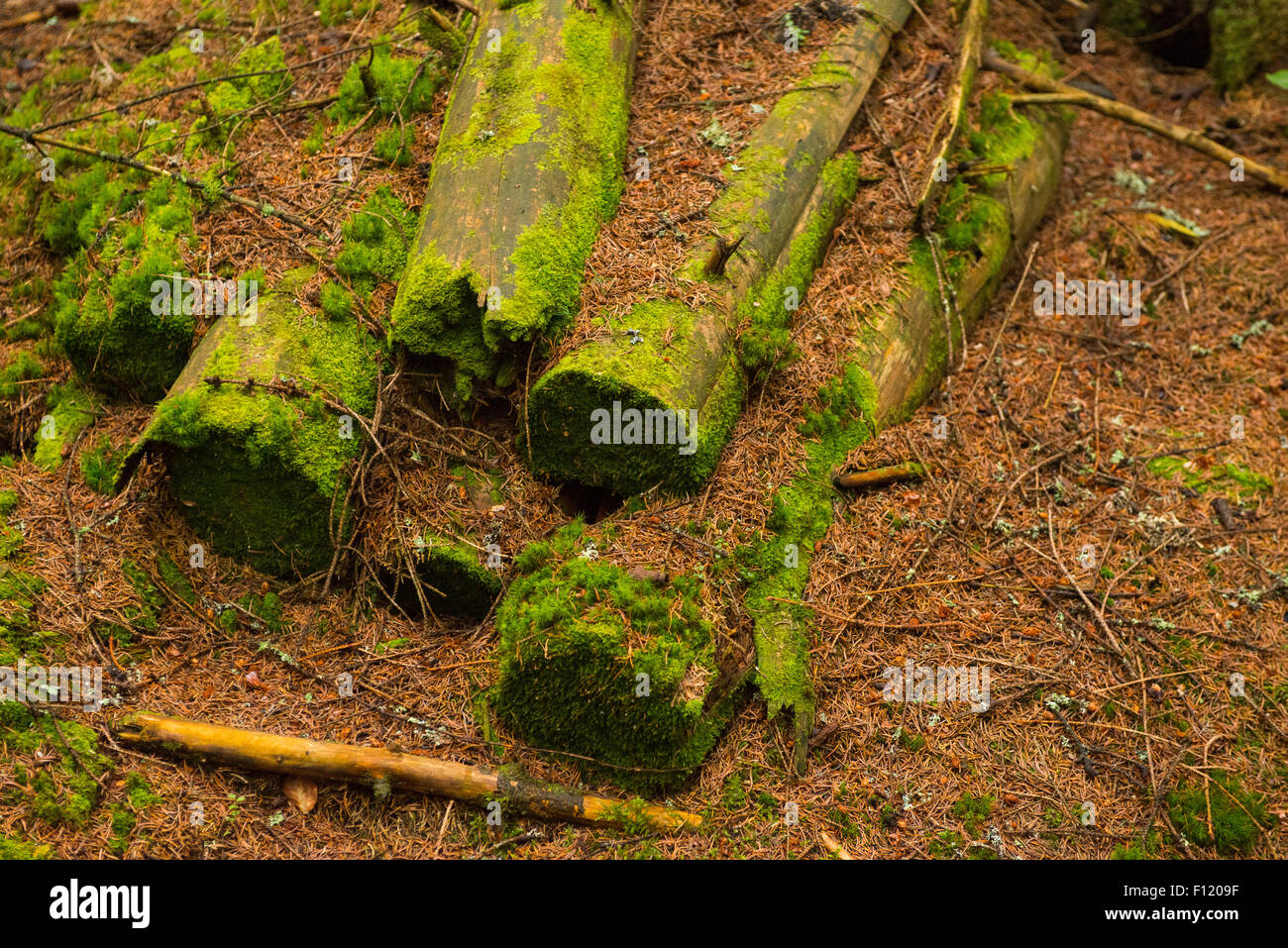 Rotting tree. A fallen tree trunk decomposes on forest floor, rotting and turning back into soil - Stock Image