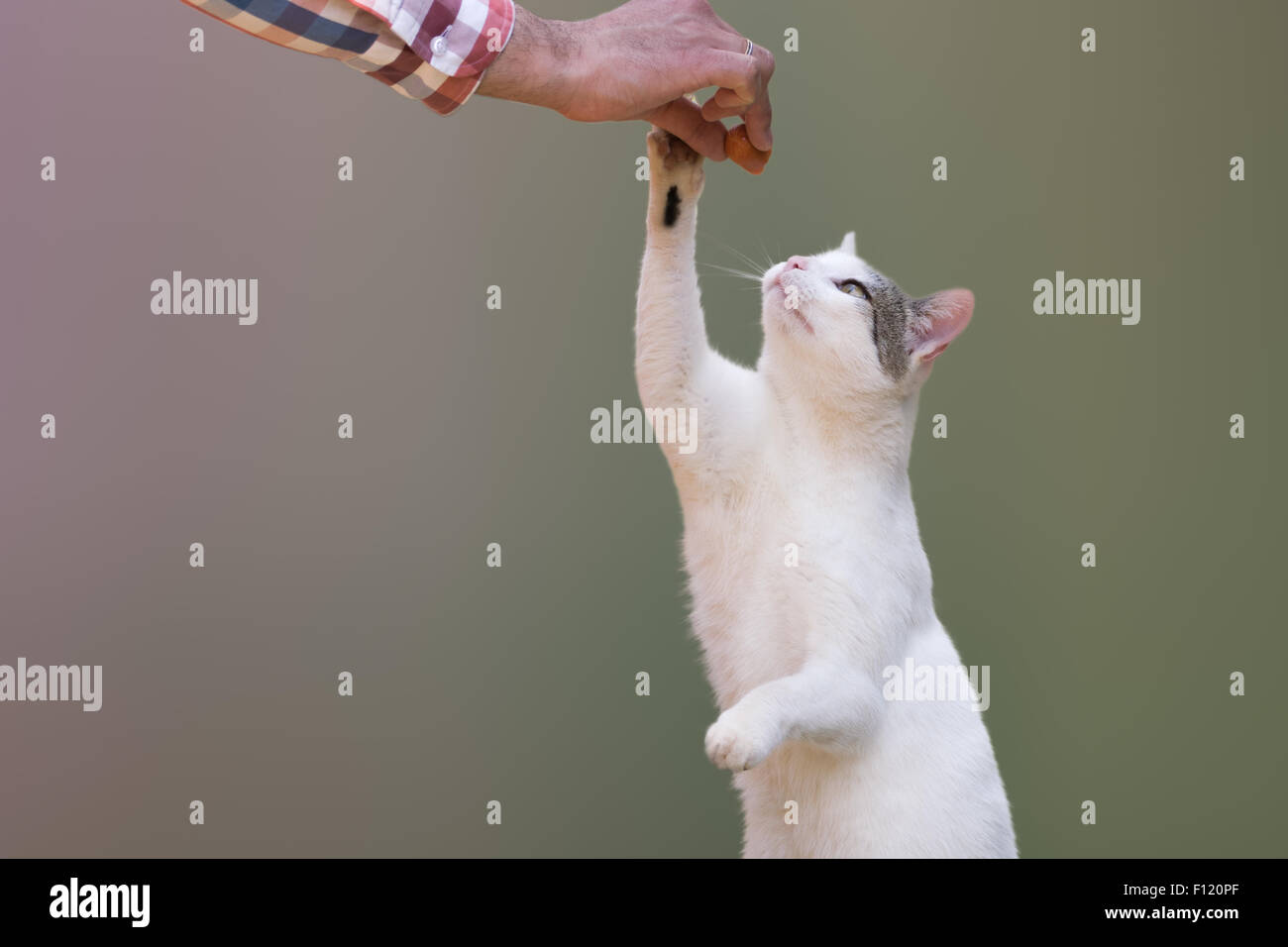 Cute cat grabbing sausage from a man's hand. - Stock Image