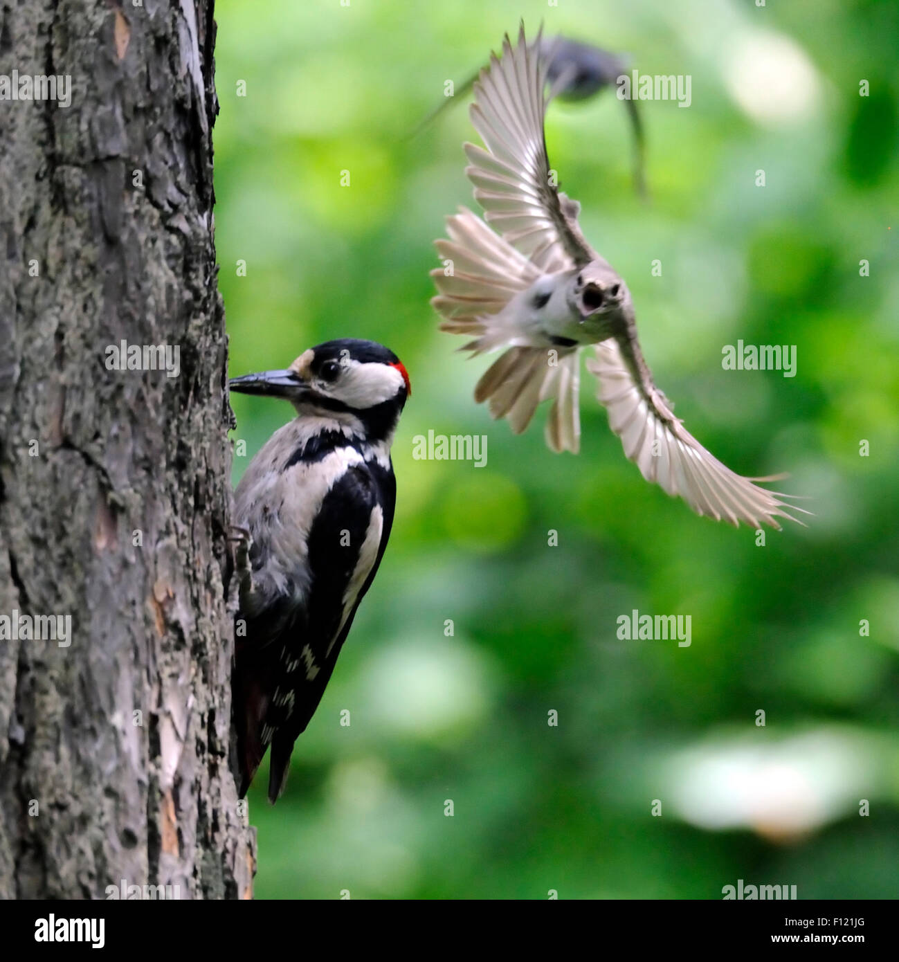 To protect its nest Pied Flycatcher attacks Great Spotted Woodpecker - Stock Image