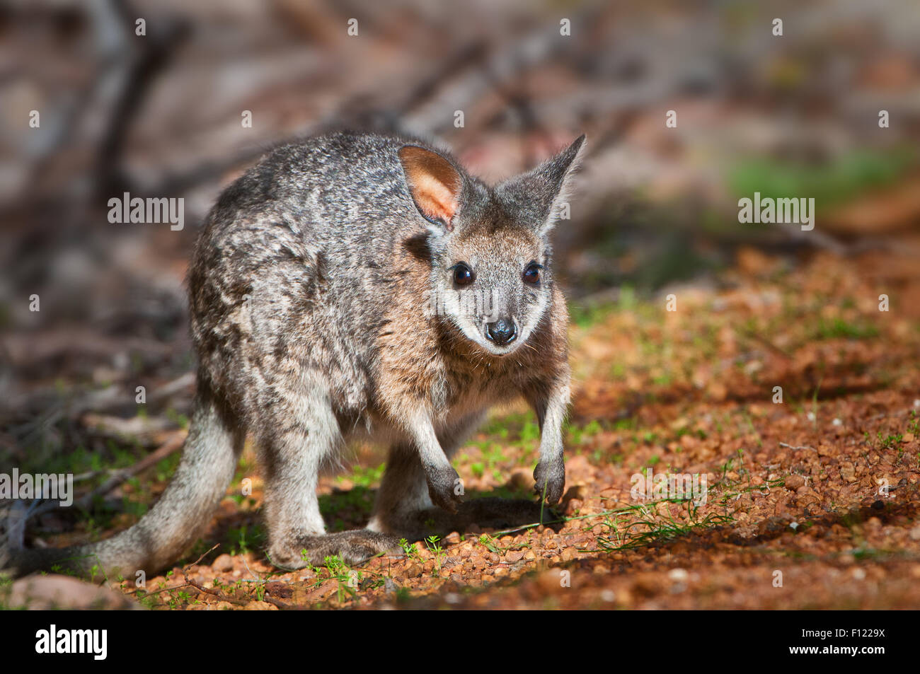 Kanguruh Stock Photos Kanguruh Stock Images Alamy