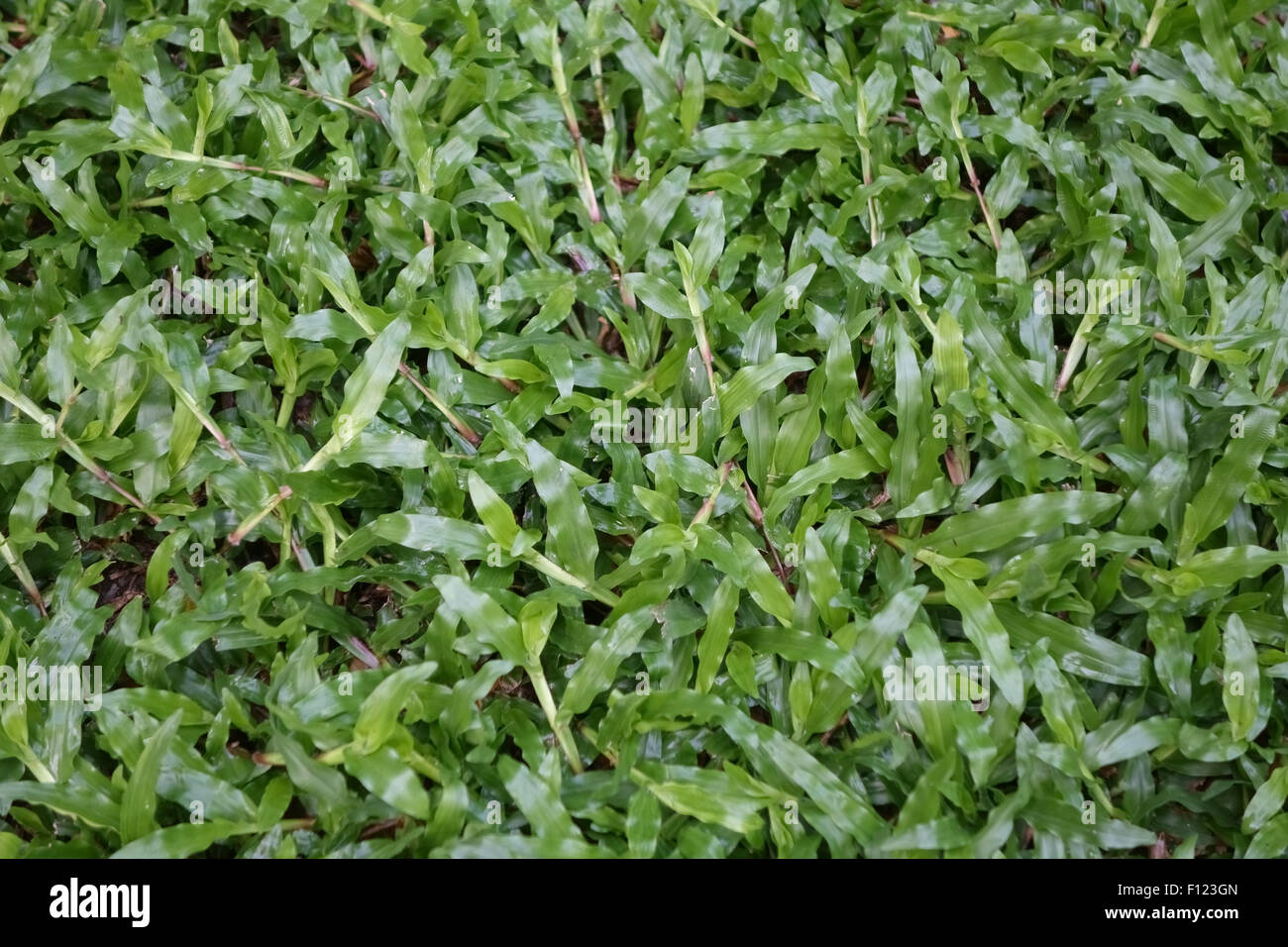 Blanket grass, Axonopus compressus, prostrate plants in a Bangkok lawn, Thailand - Stock Image