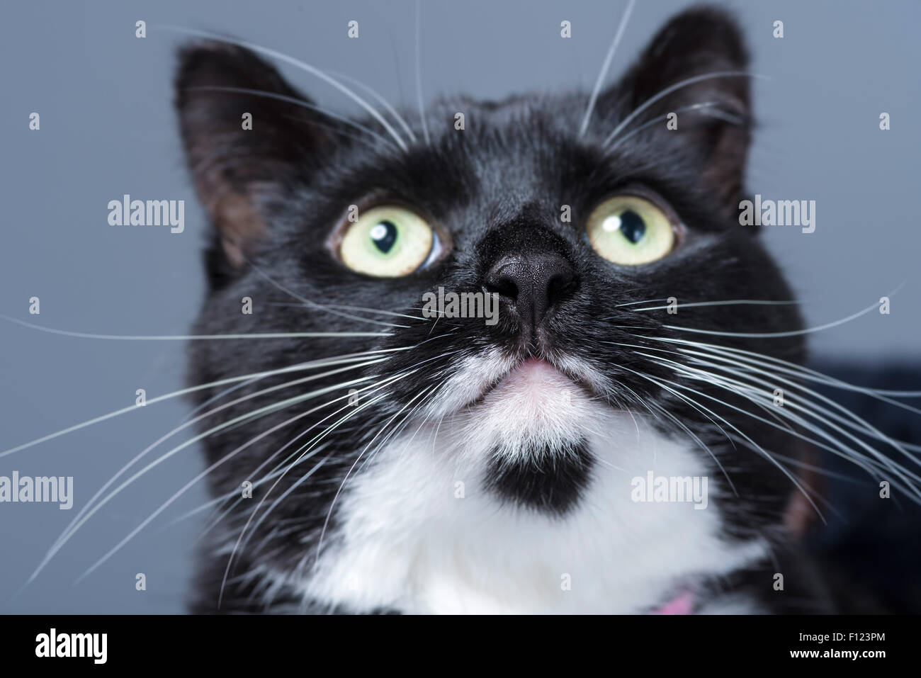 Close up of a black and white domestic cat looking upwards. - Stock Image