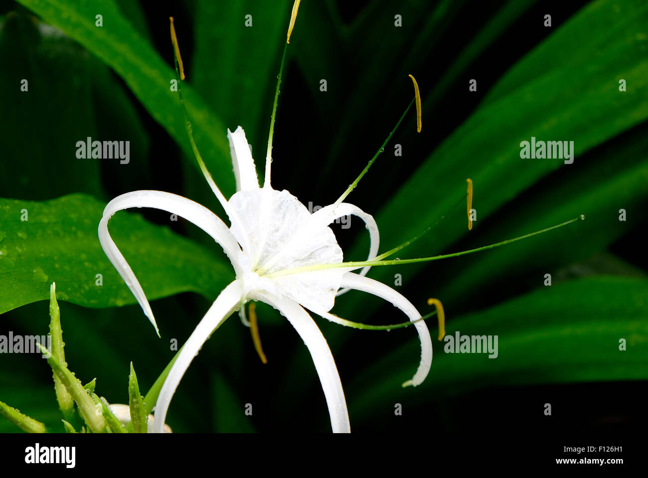 Spider lily stock photos spider lily stock images alamy white spider lily flower growing in garden stock image izmirmasajfo