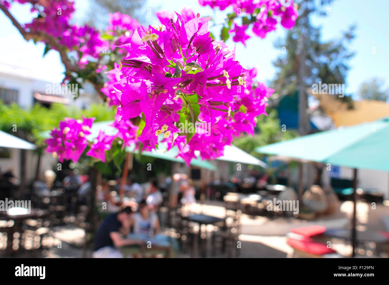 closeup of some purple bougainvillea flowers in a patio in Ibiza Island, Spain - Stock Image