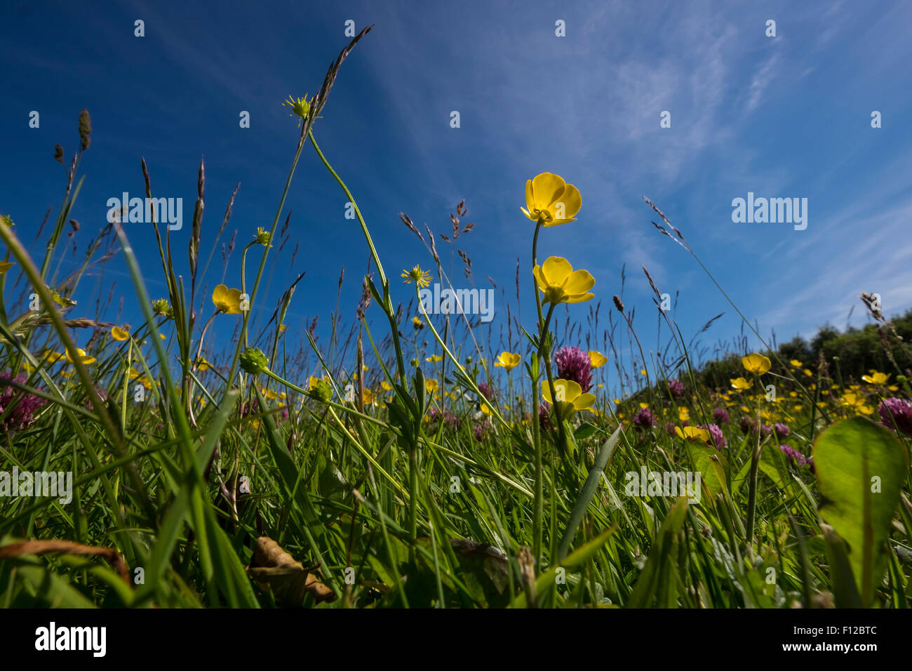 Worms eye view through summer wildflowers and grass to a blue sky. Corkagh park, Dublin, Ireland. - Stock Image