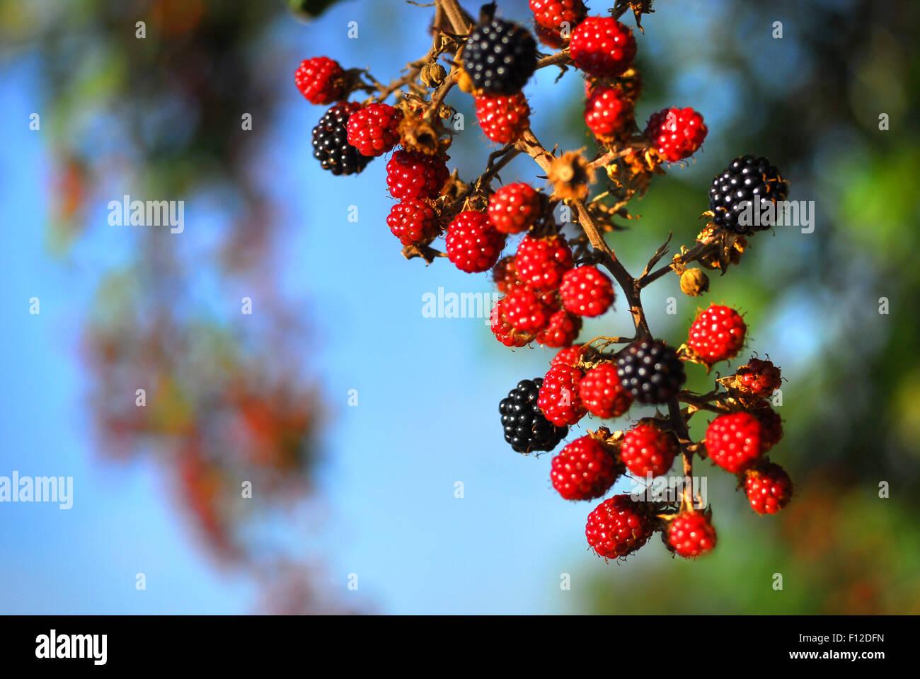 Wild blackberries - Stock Image