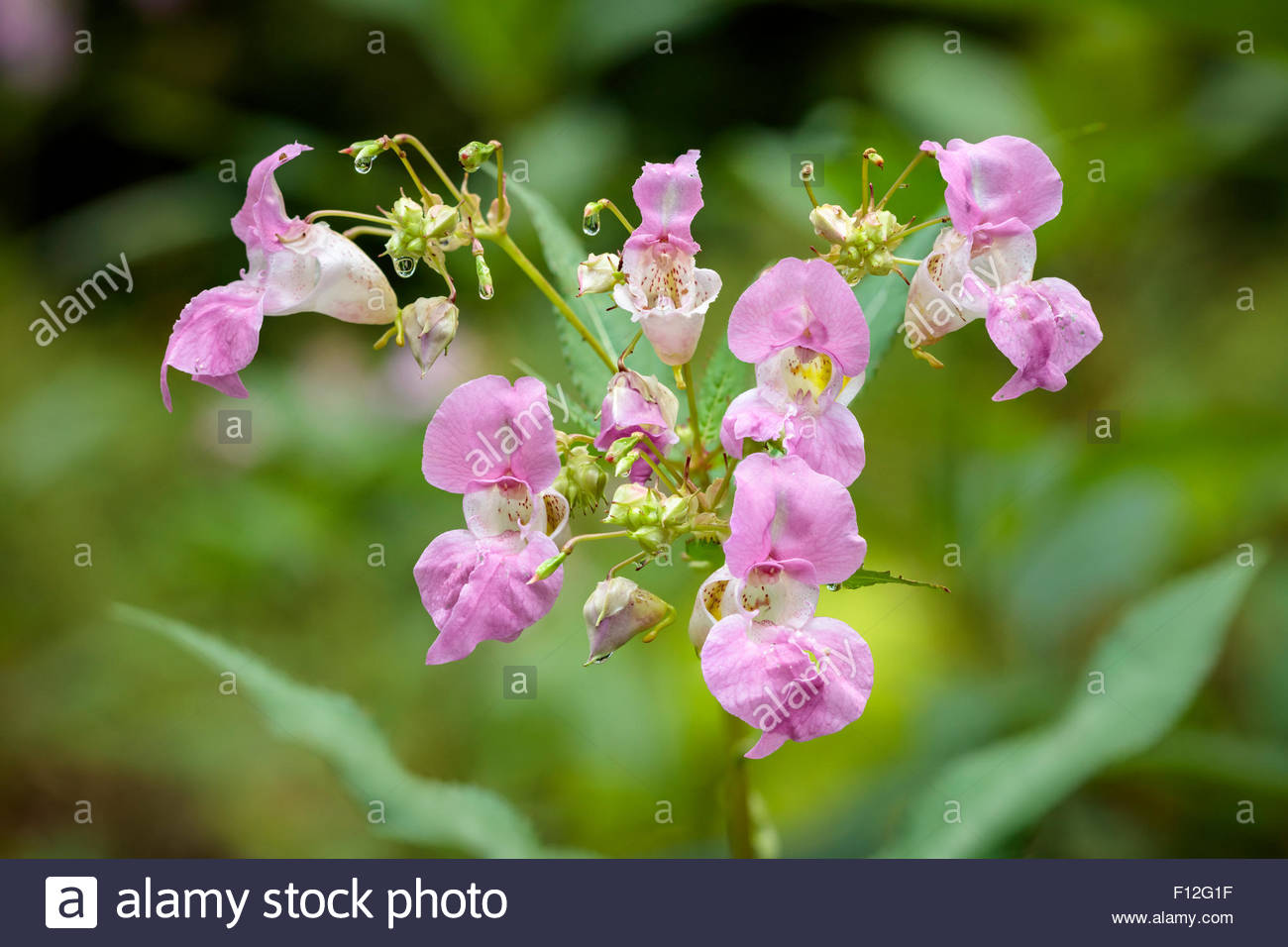 Himalayan Balsam or Impatiens glandulifera a summer wildflower growing in Rouge National Urban Park in Toronto Ontario - Stock Image