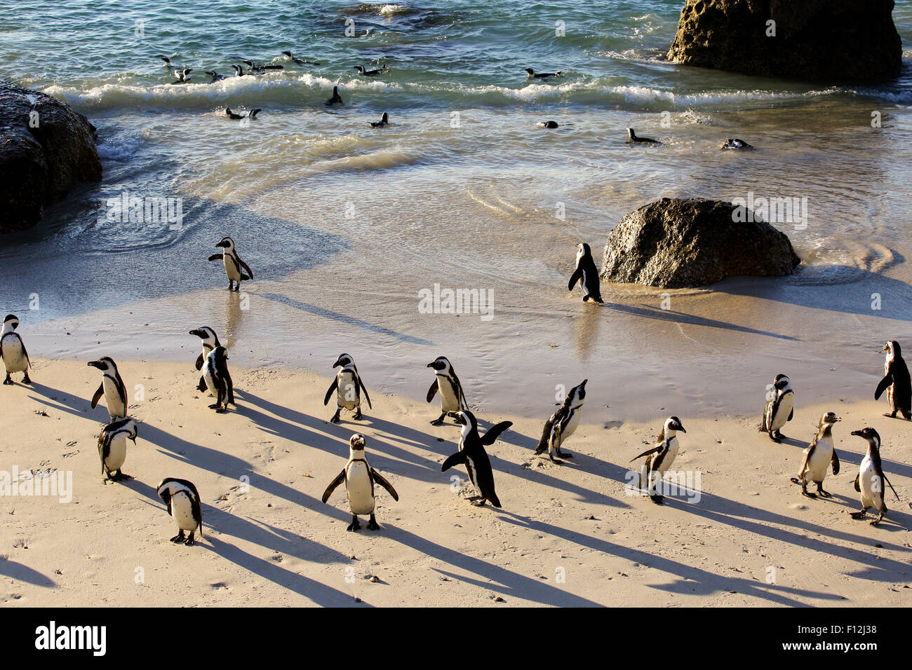 African penguin (Spheniscus demersus) colony at Boulders Beach, Cape Town - Stock Image