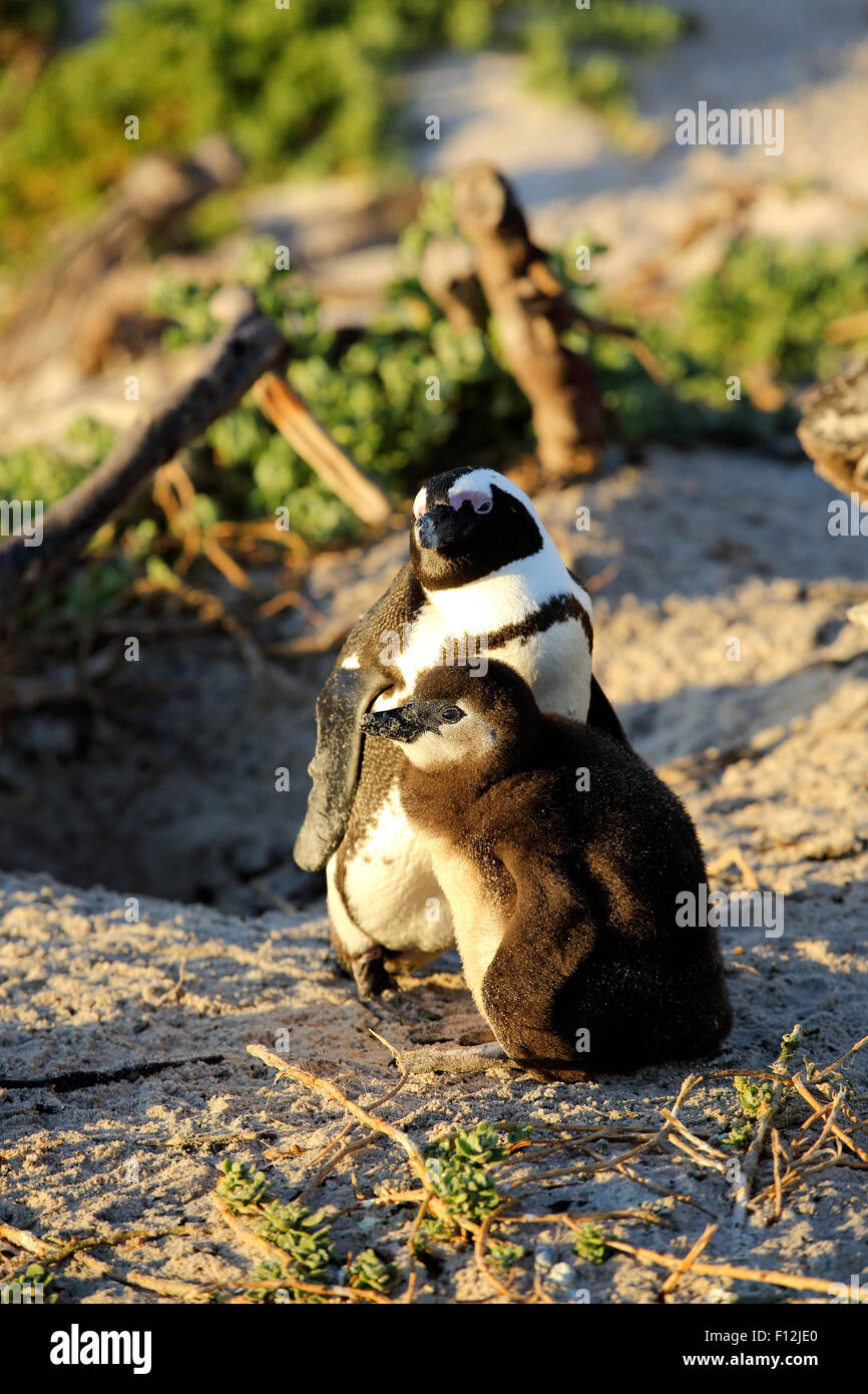 African penguin (Spheniscus demersus) mother and chick at Boulders Beach colony, Simon's Town - Stock Image
