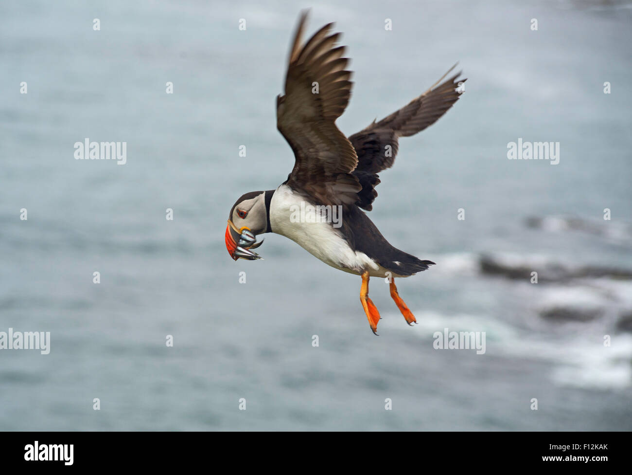 Puffin in flight with sandeels in mouth Stock Photo