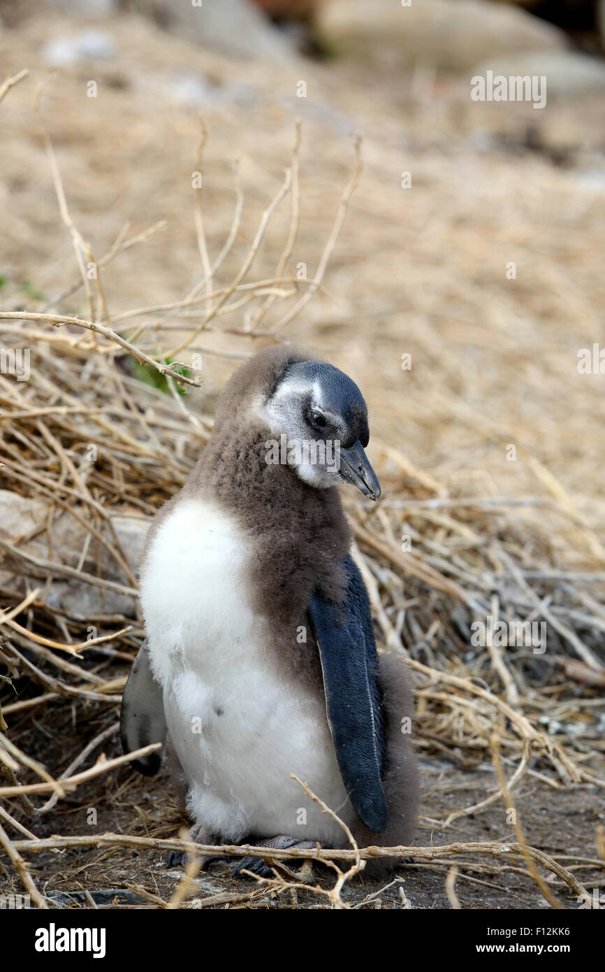 African penguin (Spheniscus demersus) fledgling chick malting - Stock Image