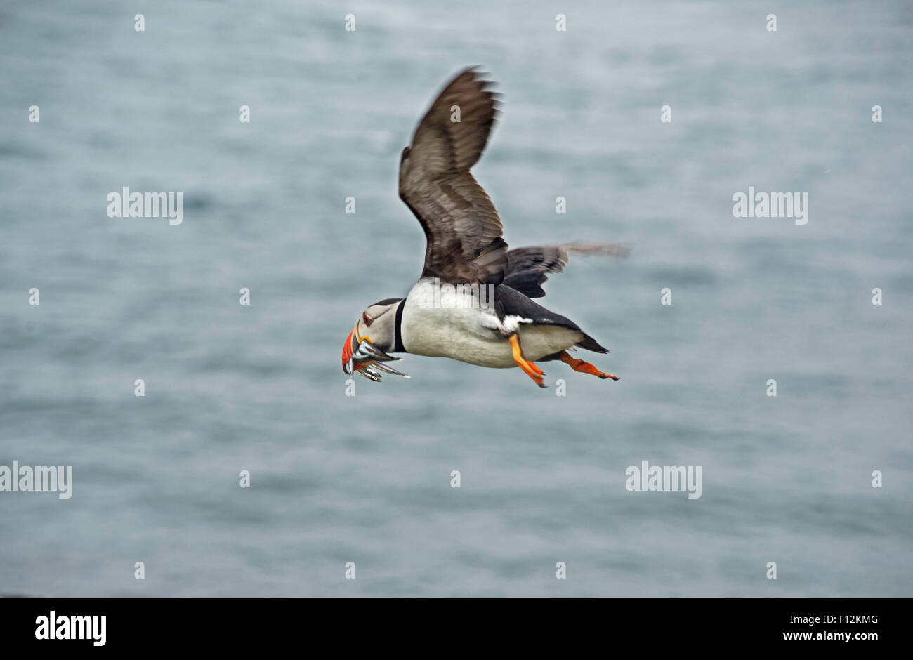Puffin in flight carrying sand eels Stock Photo