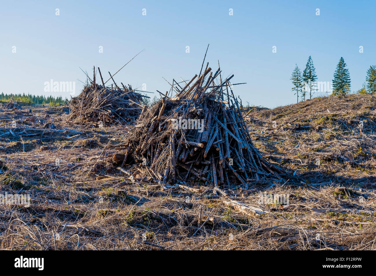 Logging slash piles ready for burning, Vancouver Island, British Columbia, Canada - Stock Image