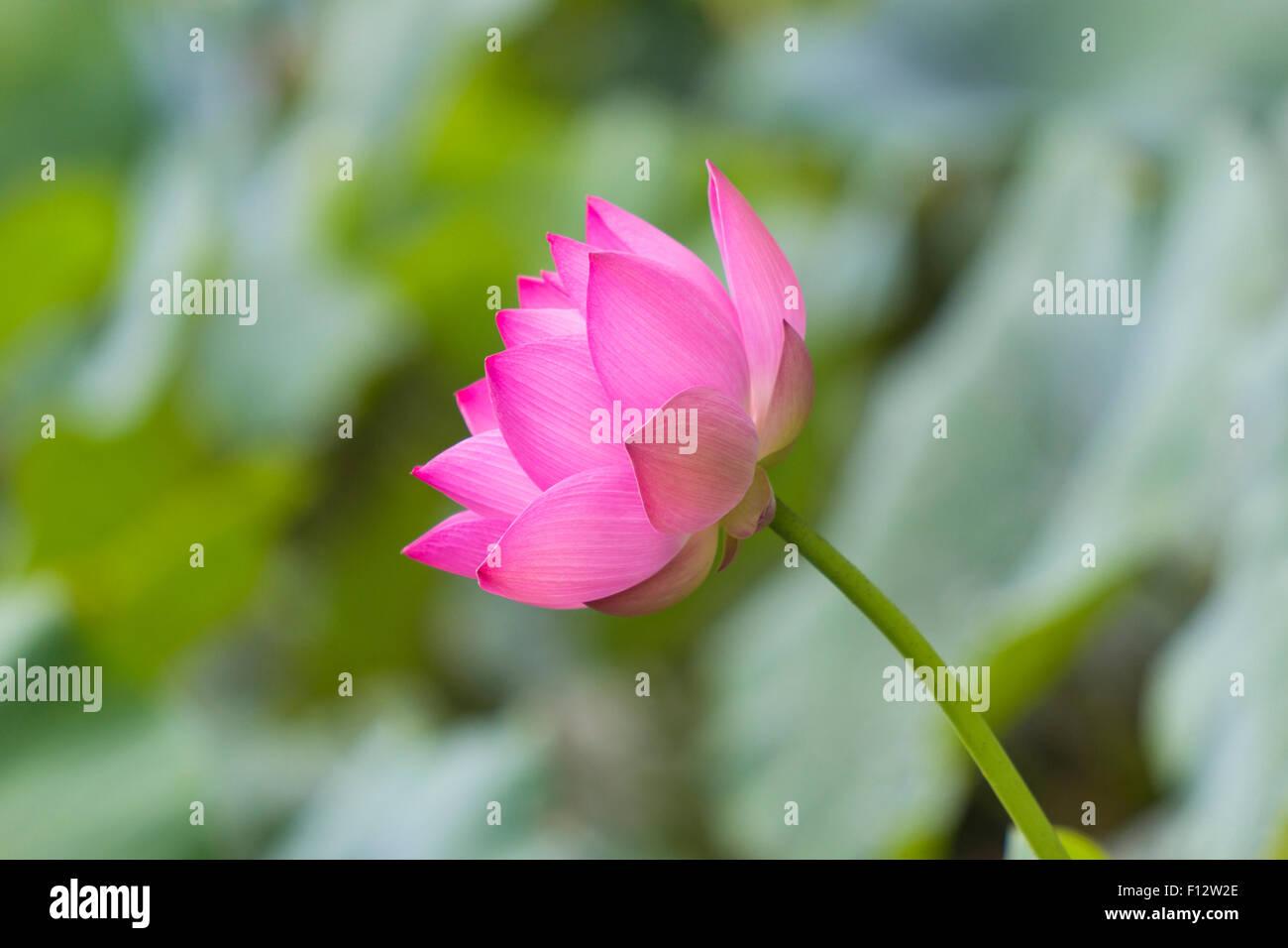 Lotus Blossom Closeup Stock Photos Lotus Blossom Closeup Stock