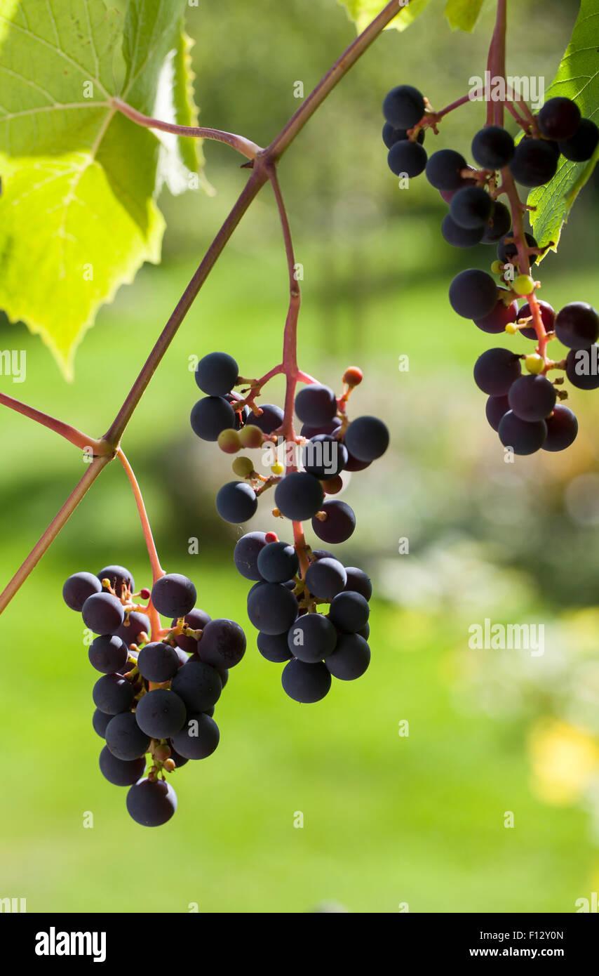 "Grape vine ""Vitis Zilga"" Stock Photo"