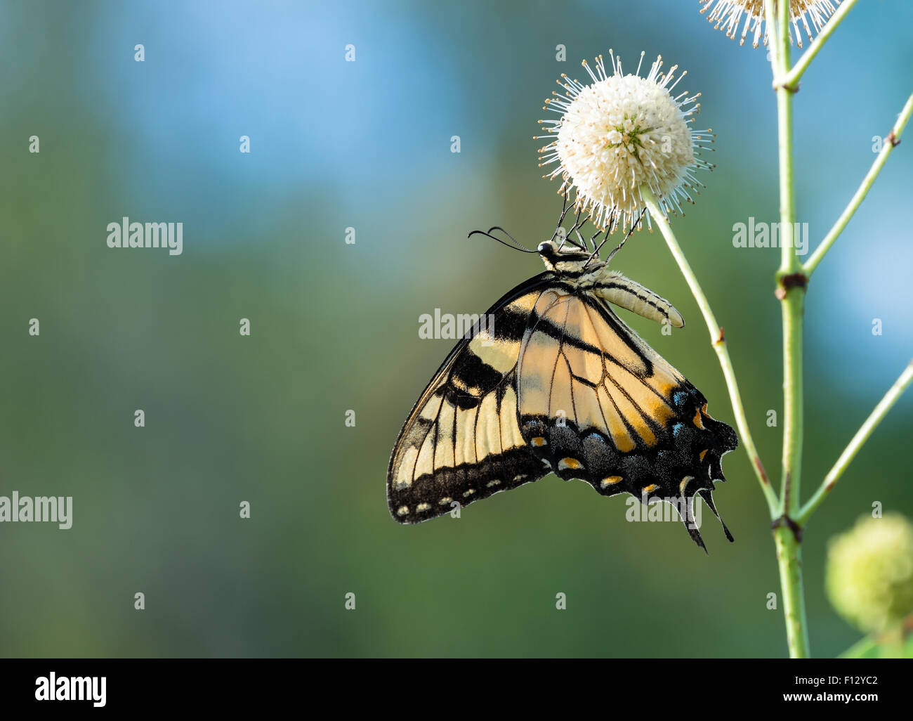 Eastern Tiger Swallowtail butterfly (Papilio glaucus) feeding on buttonbush flowers Stock Photo