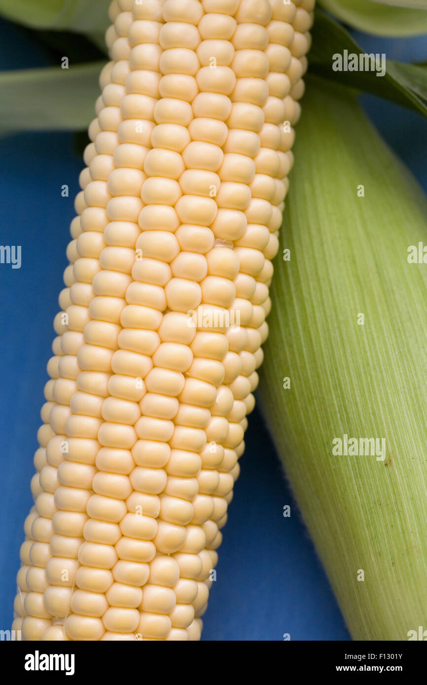 Zea mays. Freshly picked corn on the cob on a blue background. - Stock Image