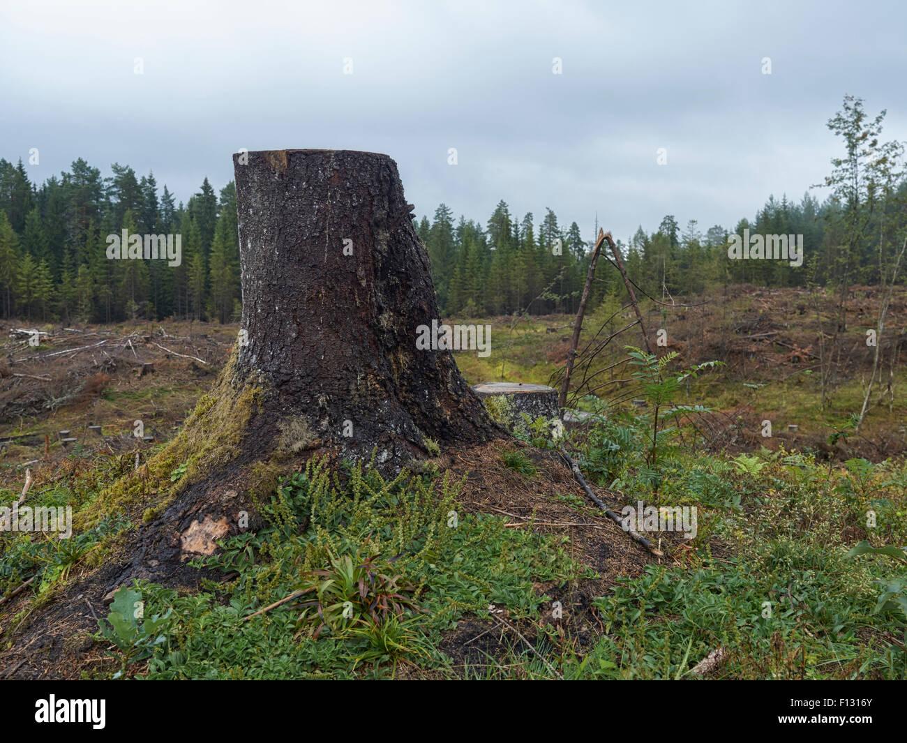 single tree stub - Stock Image