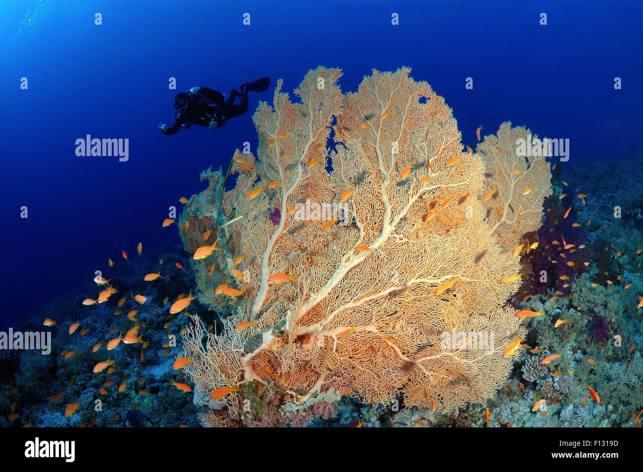 Red Sea, Egypt. 15th Oct, 2014. Diver looking at soft coral Venus fan or Venus sea fan, common sea fan, West Indian Stock Photo
