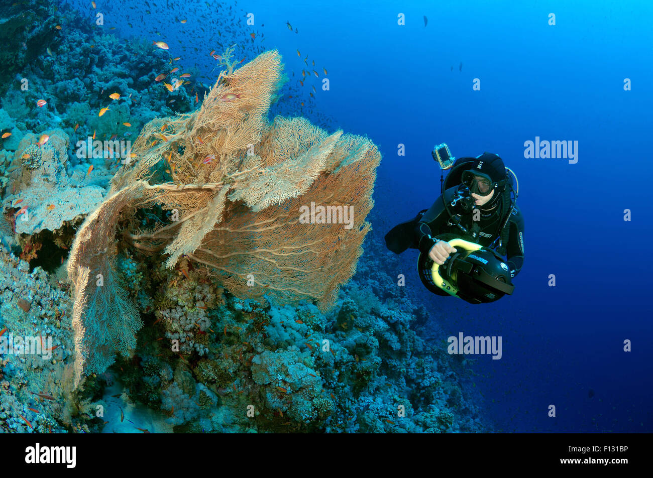 Red Sea, Egypt. 15th Oct, 2014. swims to underwater scooter near the soft coral Venus fan or Venus sea fan, common Stock Photo