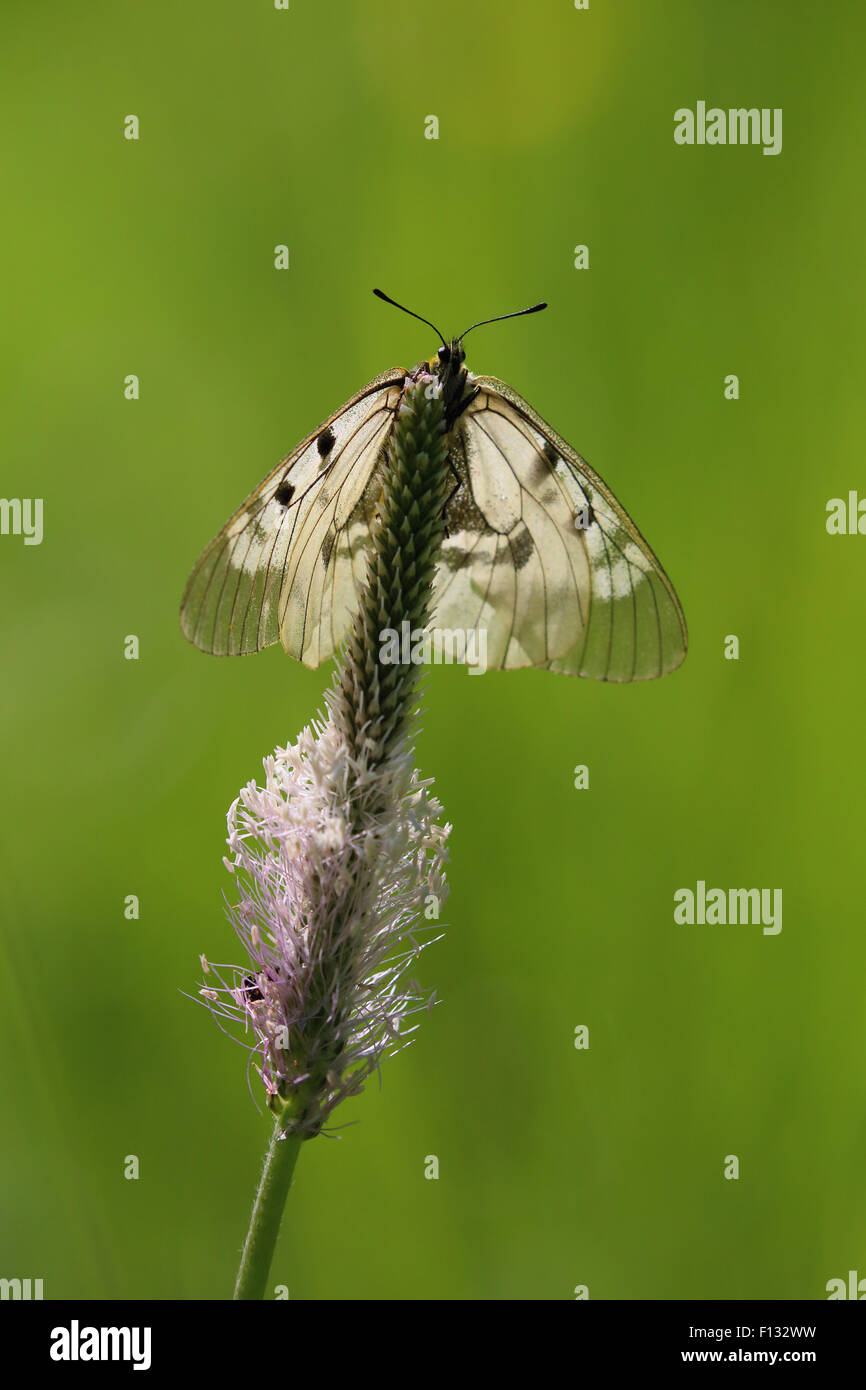 Clouded Apollo (Parnassius mnemosyne). The species is listed as NT (Near Threatened) in the IUCN global red list. - Stock Image