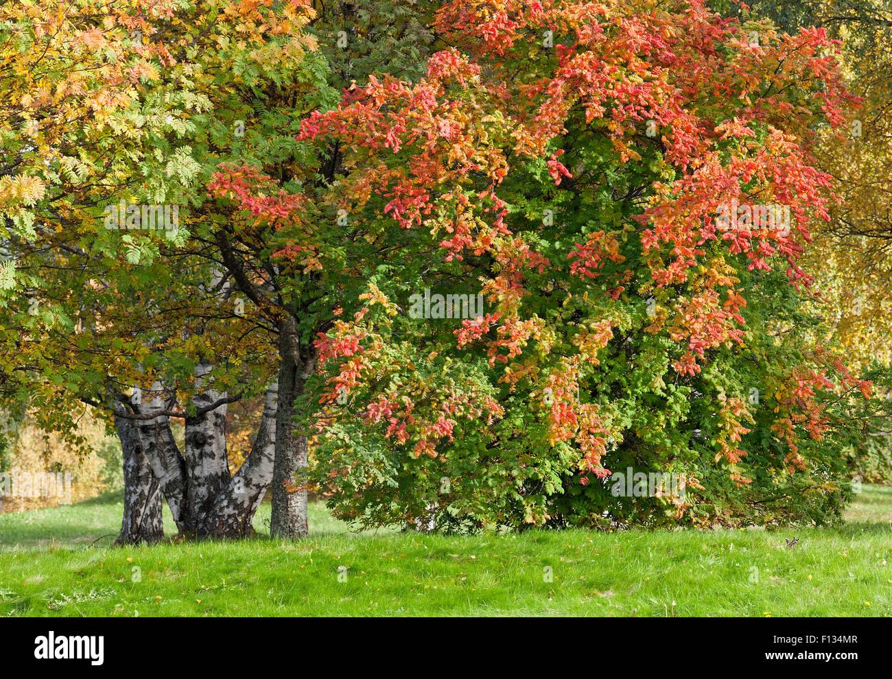 Lush Green Rowan Leaves On Stock Photos & Lush Green Rowan Leaves On ...