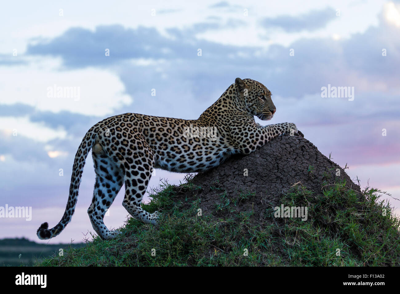 Leopard (Panthera pardus) male on termite mound at sunset, Masai-Mara game reserve, Kenya. - Stock Image