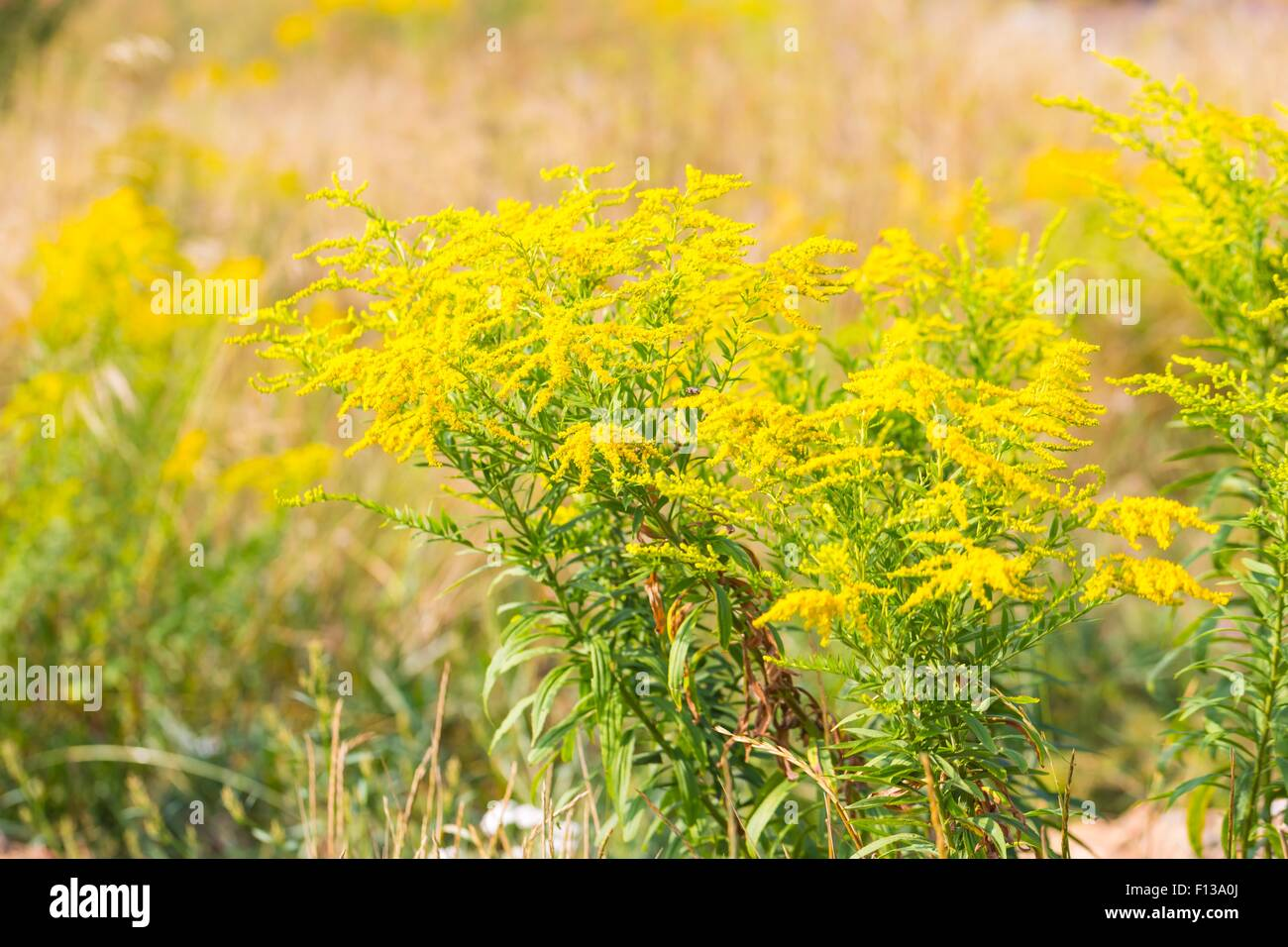 Beautiful yellow goldenrod flowers blooming beautiful flowers of beautiful yellow goldenrod flowers blooming beautiful flowers of autumn izmirmasajfo