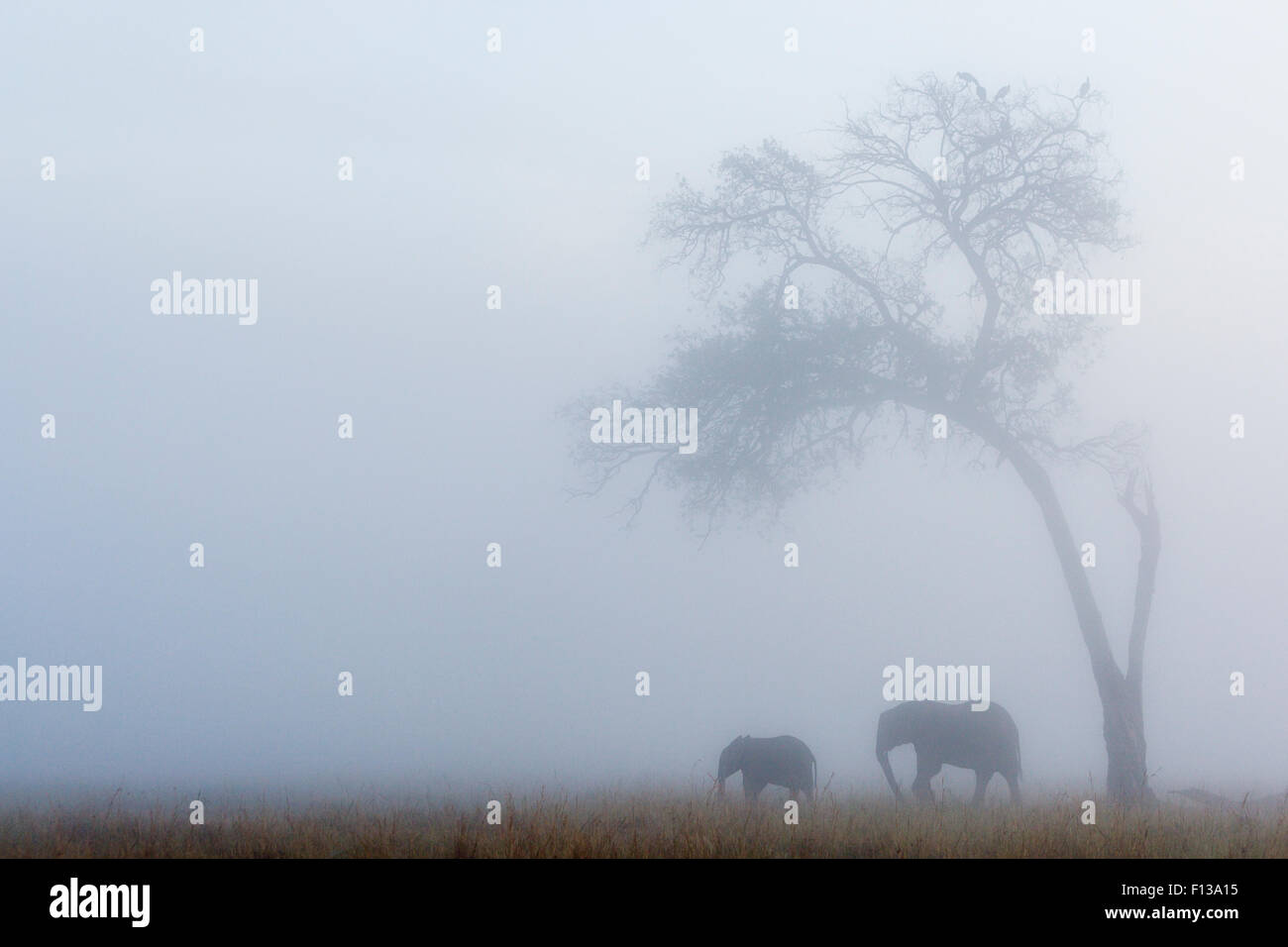 Elephant (Loxodonta africana) female and calf under tree in the rain, Masai-Mara game reserve, Kenya. - Stock Image