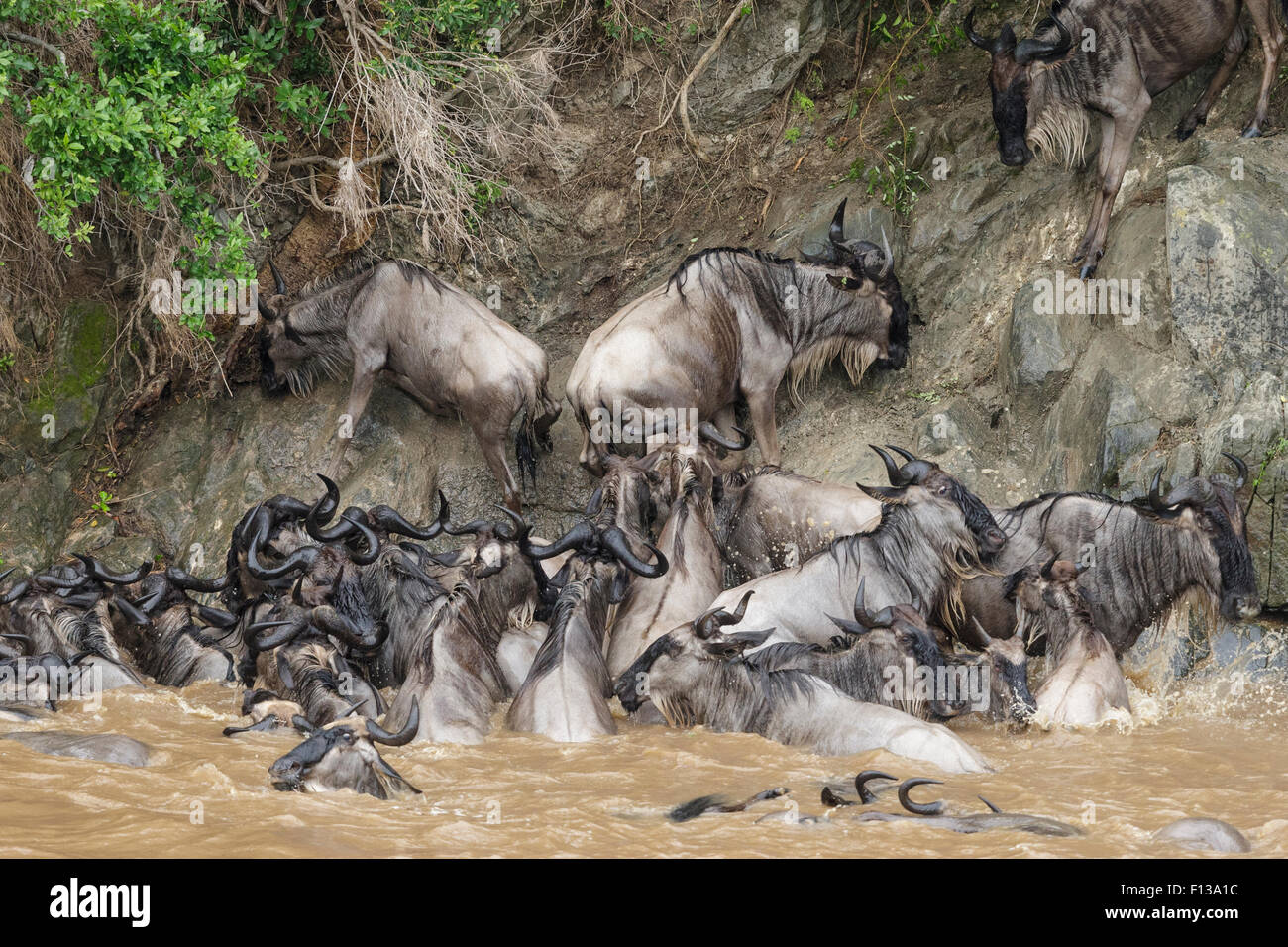 Wildebeest (Connochaetes taurinus) unable to climb steep bank after swimming across Mara river during migration, - Stock Image
