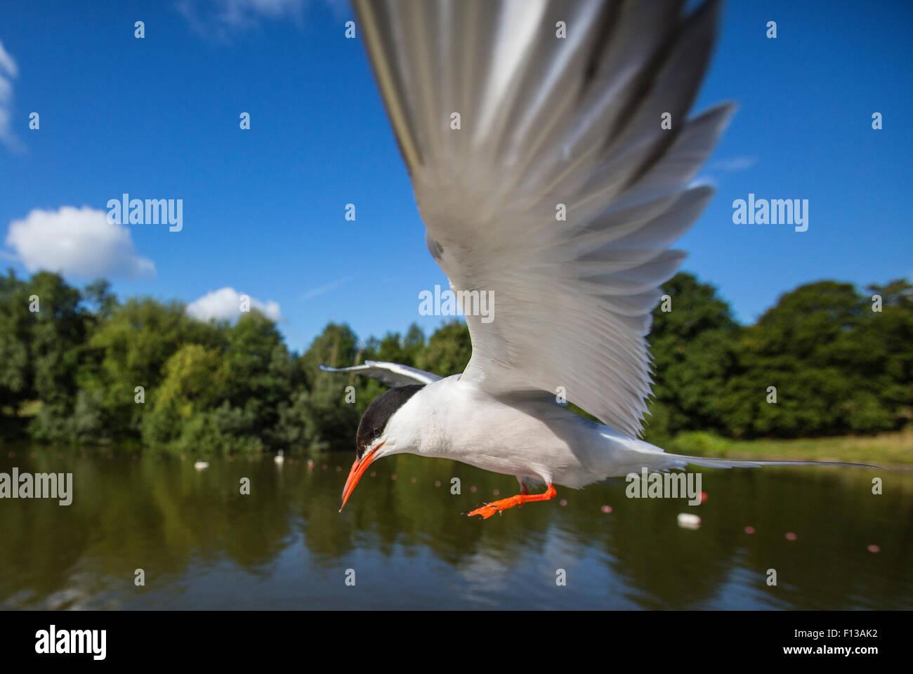 Common tern (Sterna hirundo) in flight over water, Hampstead Heath, London, UK, August. - Stock Image